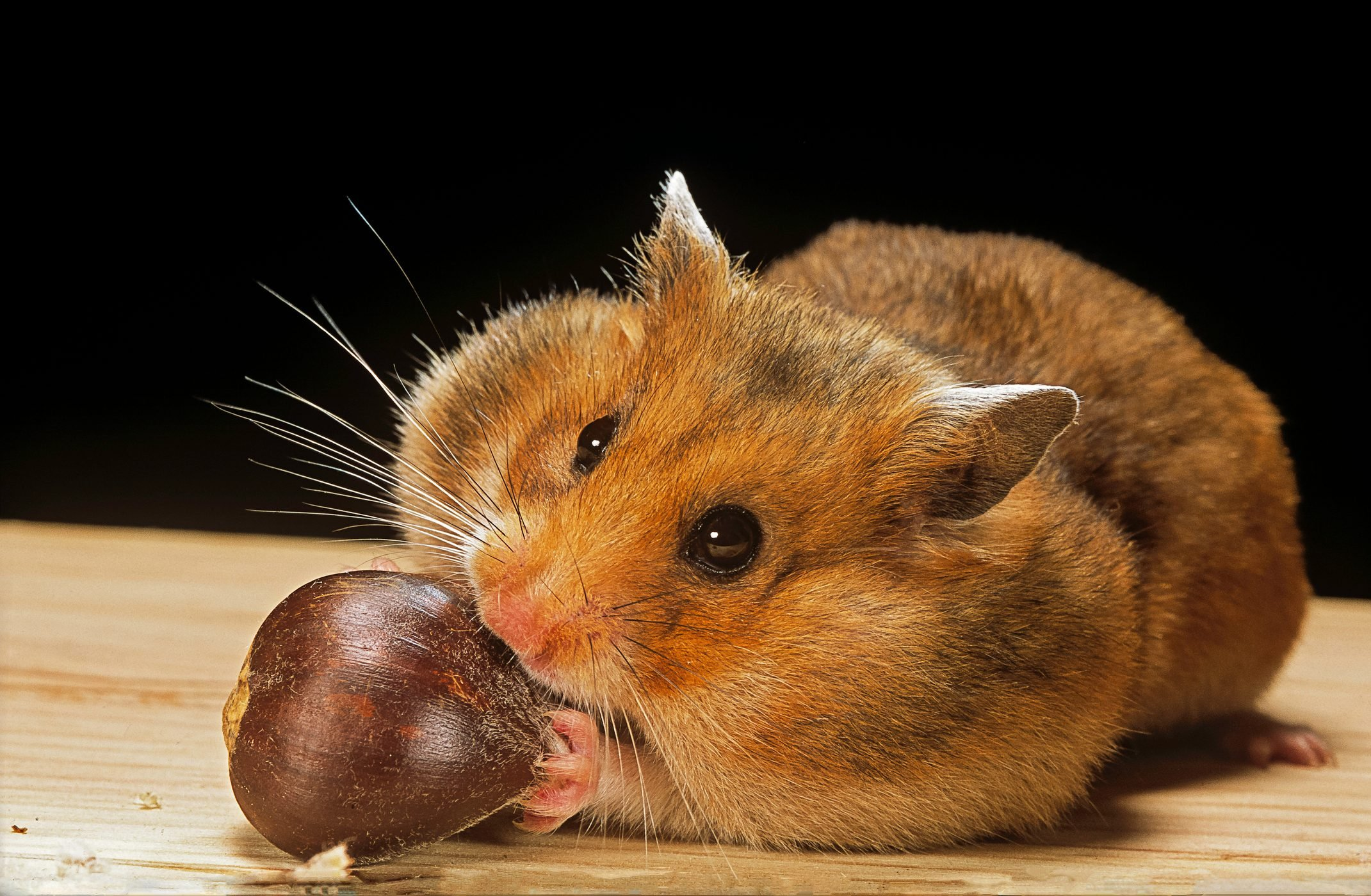 Mesocricetus auratus (golden hamster, Syrian hamster) - feeding on a chestnut