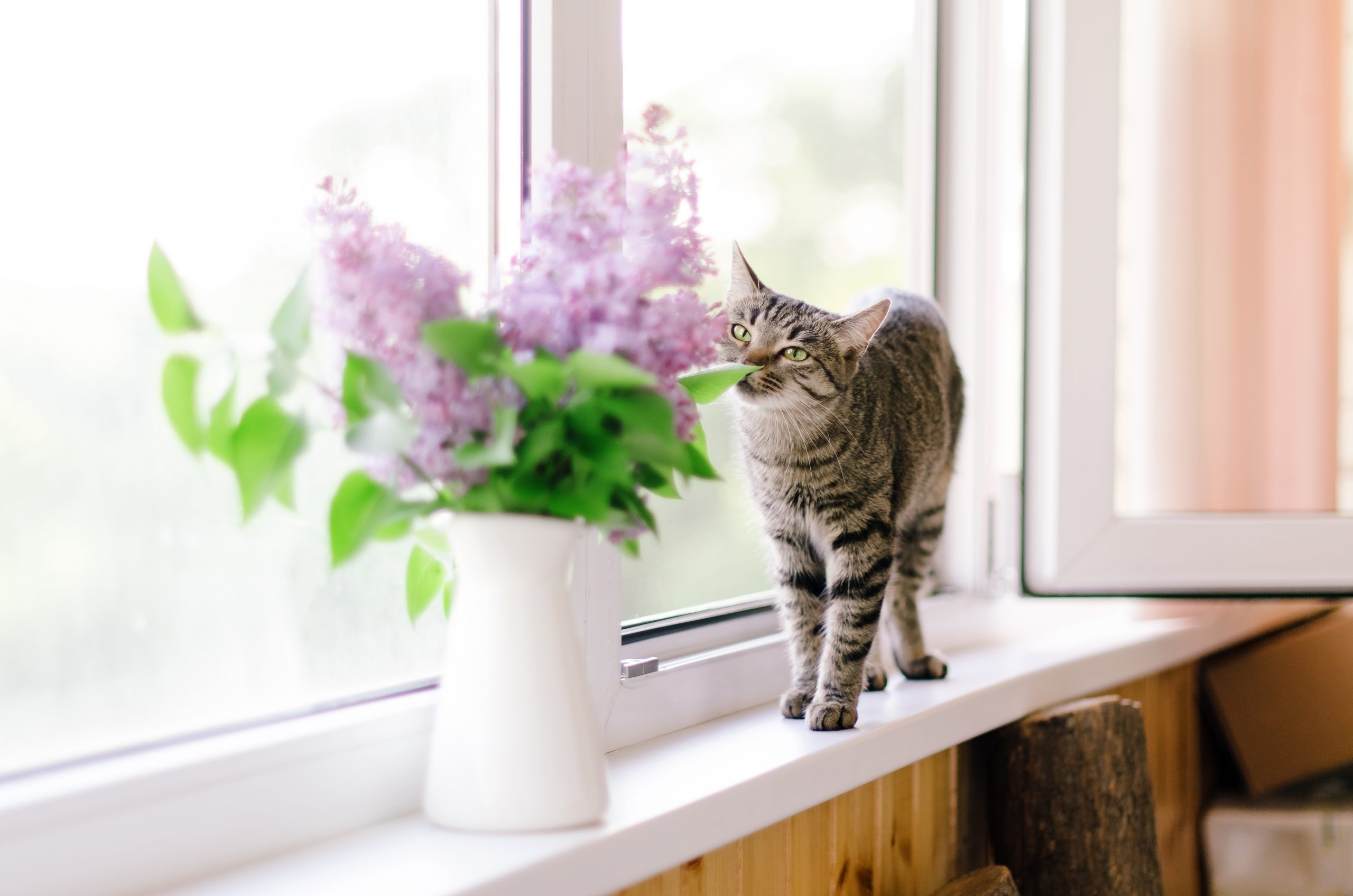 A cat and a bunch of fresh lilac in a vase in rustic style