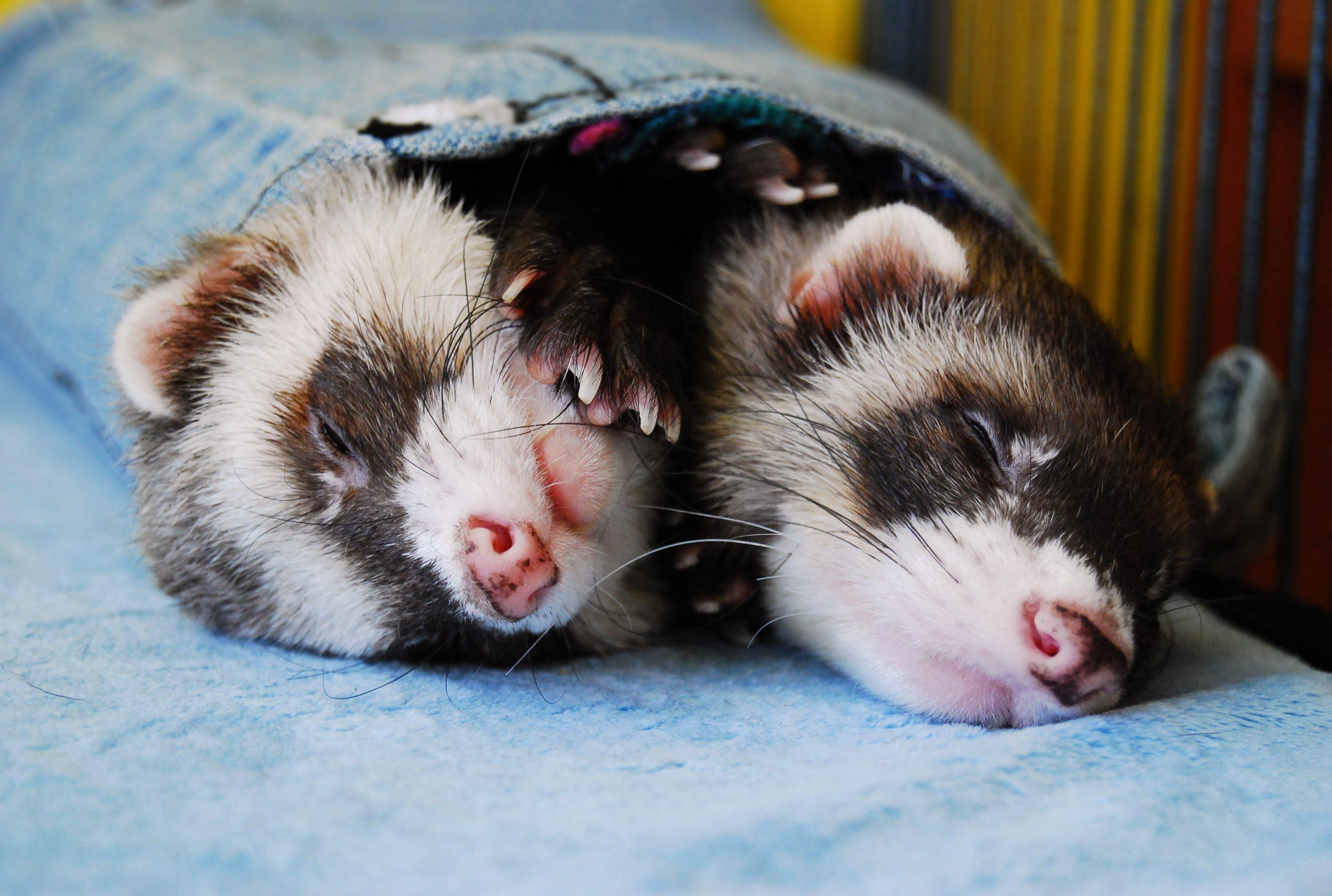 Two sable ferrets sleeping