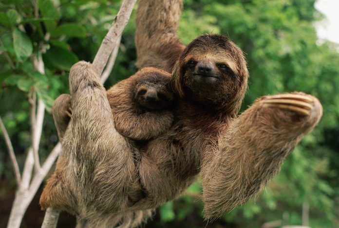 Three-Toed Tree Sloth With Young