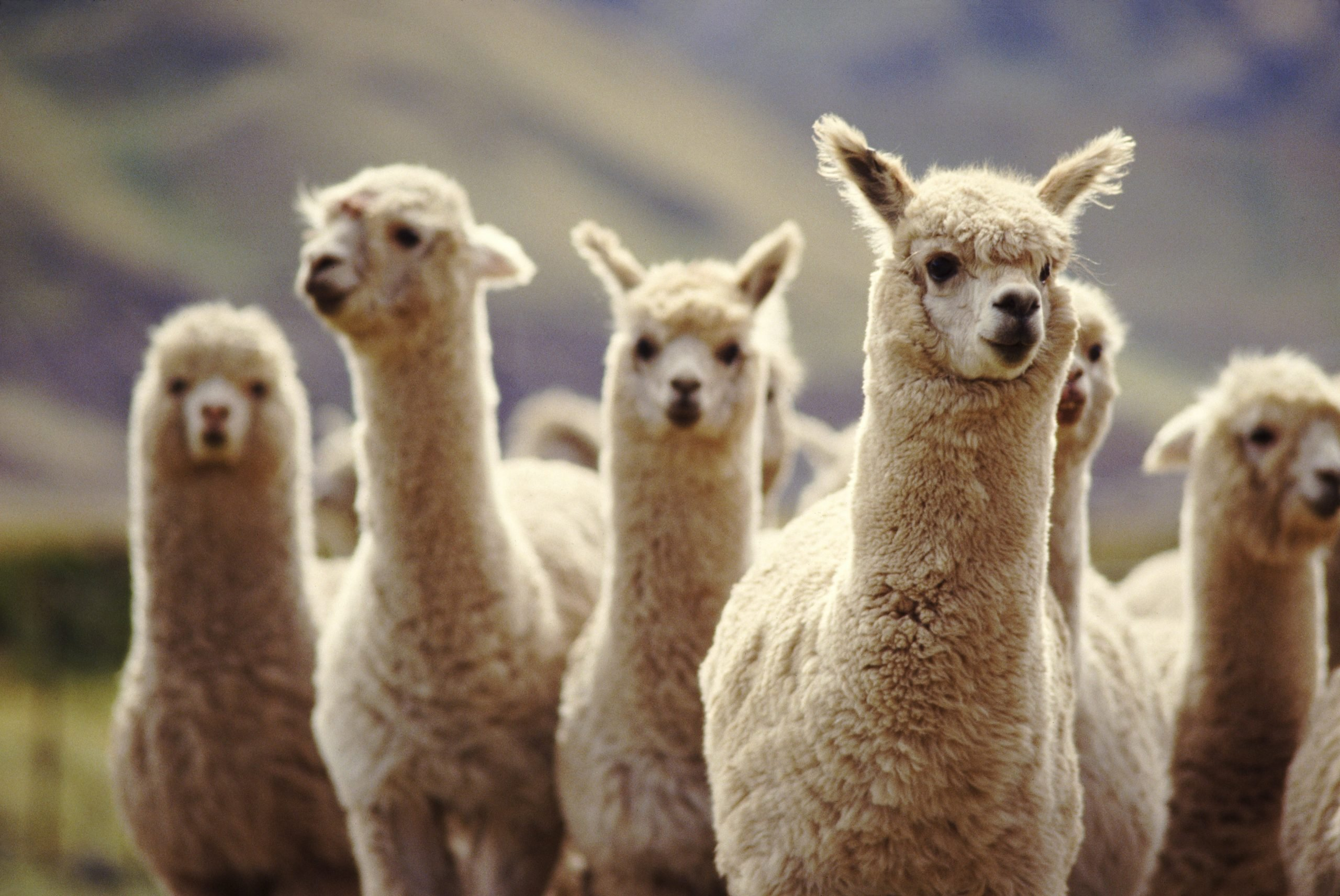 A herd of Alpaca