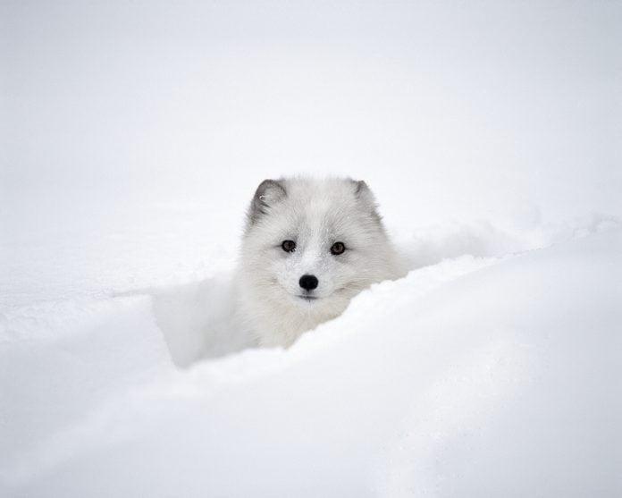 Arctic Fox Peeking Out of Snow