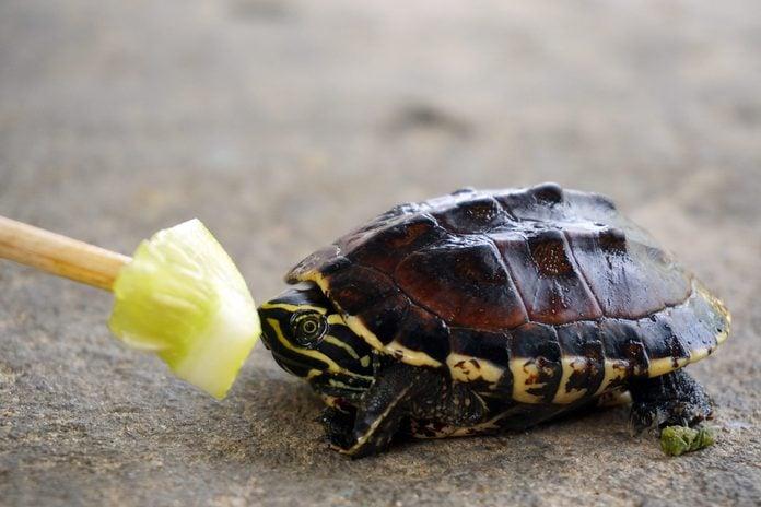 Feeding cucumber to baby turtle