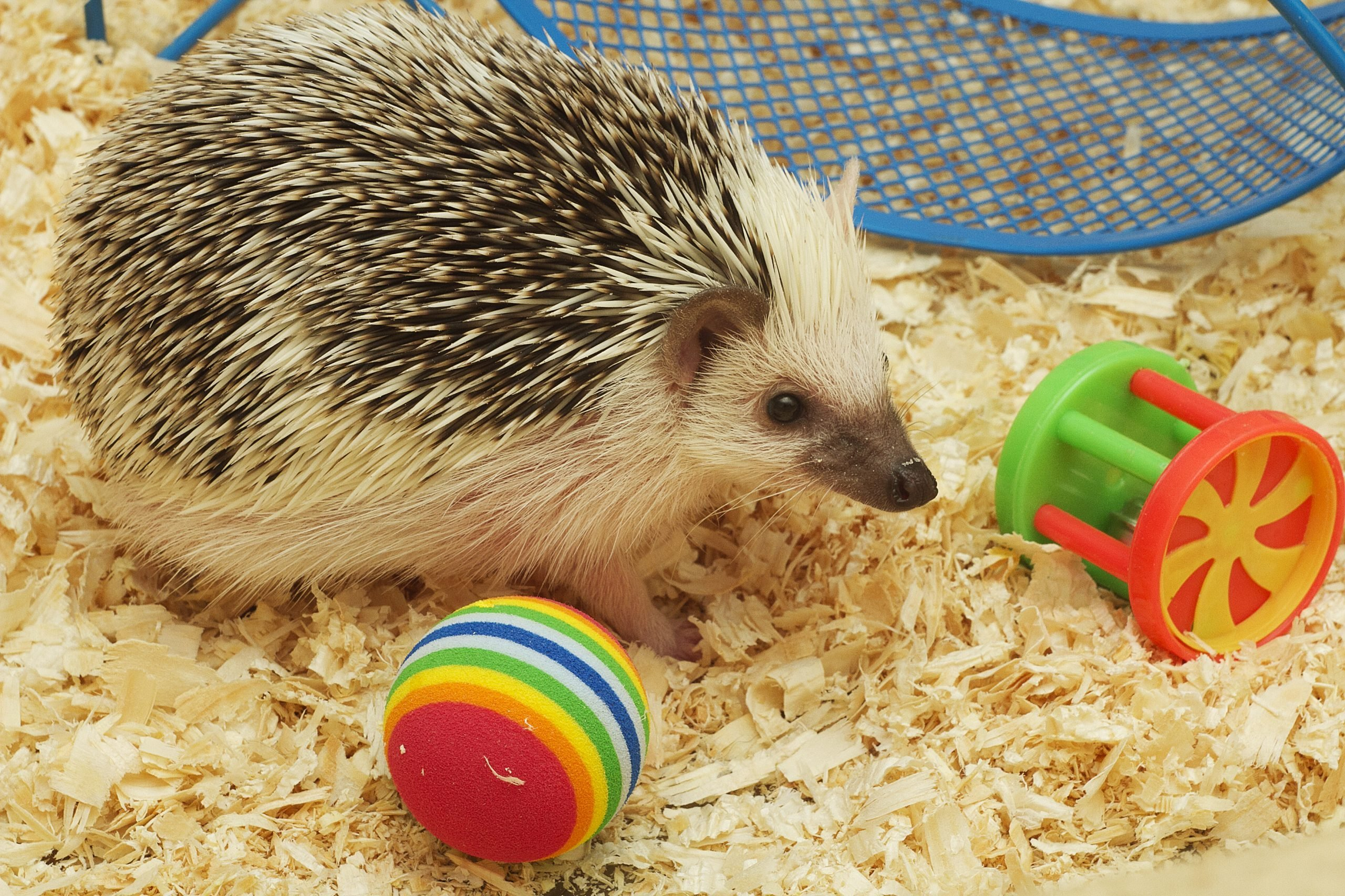 cute and fun hedgehog baby with breeding facility background
