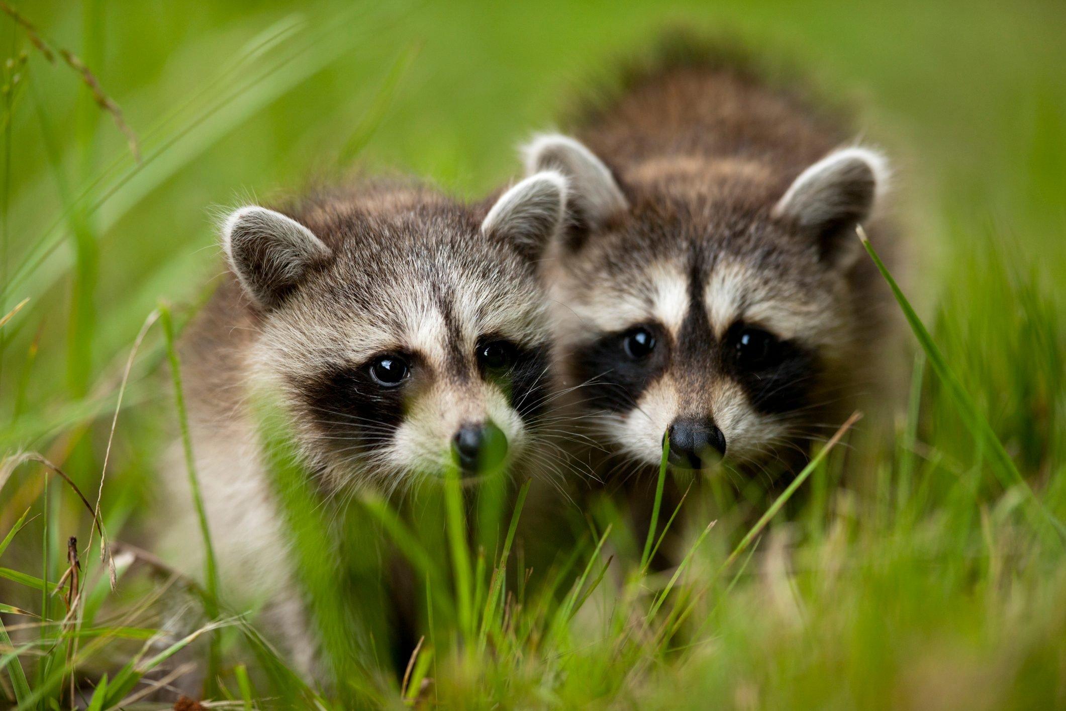 Raccoons at Assateague Island National Seashore in Maryland