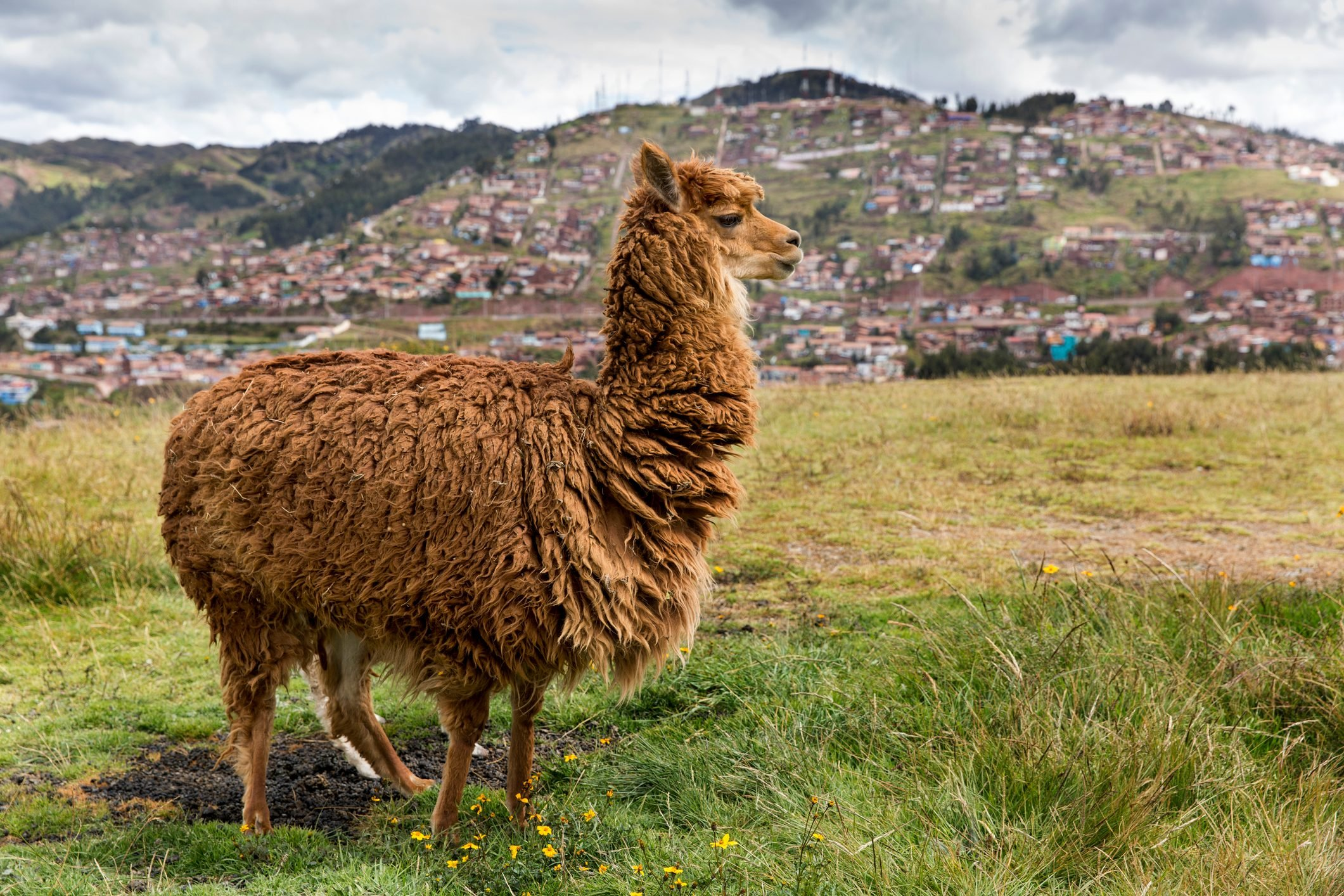 Alpaca near Saksaywaman Temple, Cusco, Peru