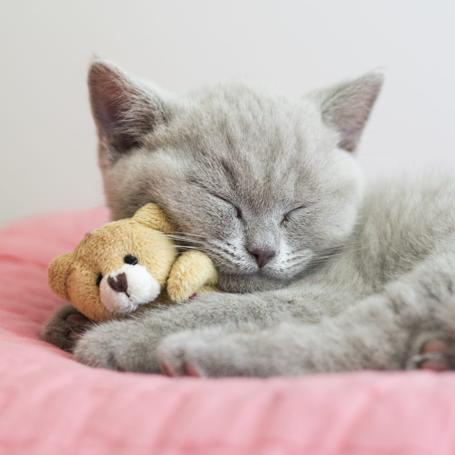 Little British Shorthair cat sleeping on a pink pillow with a teddy bear