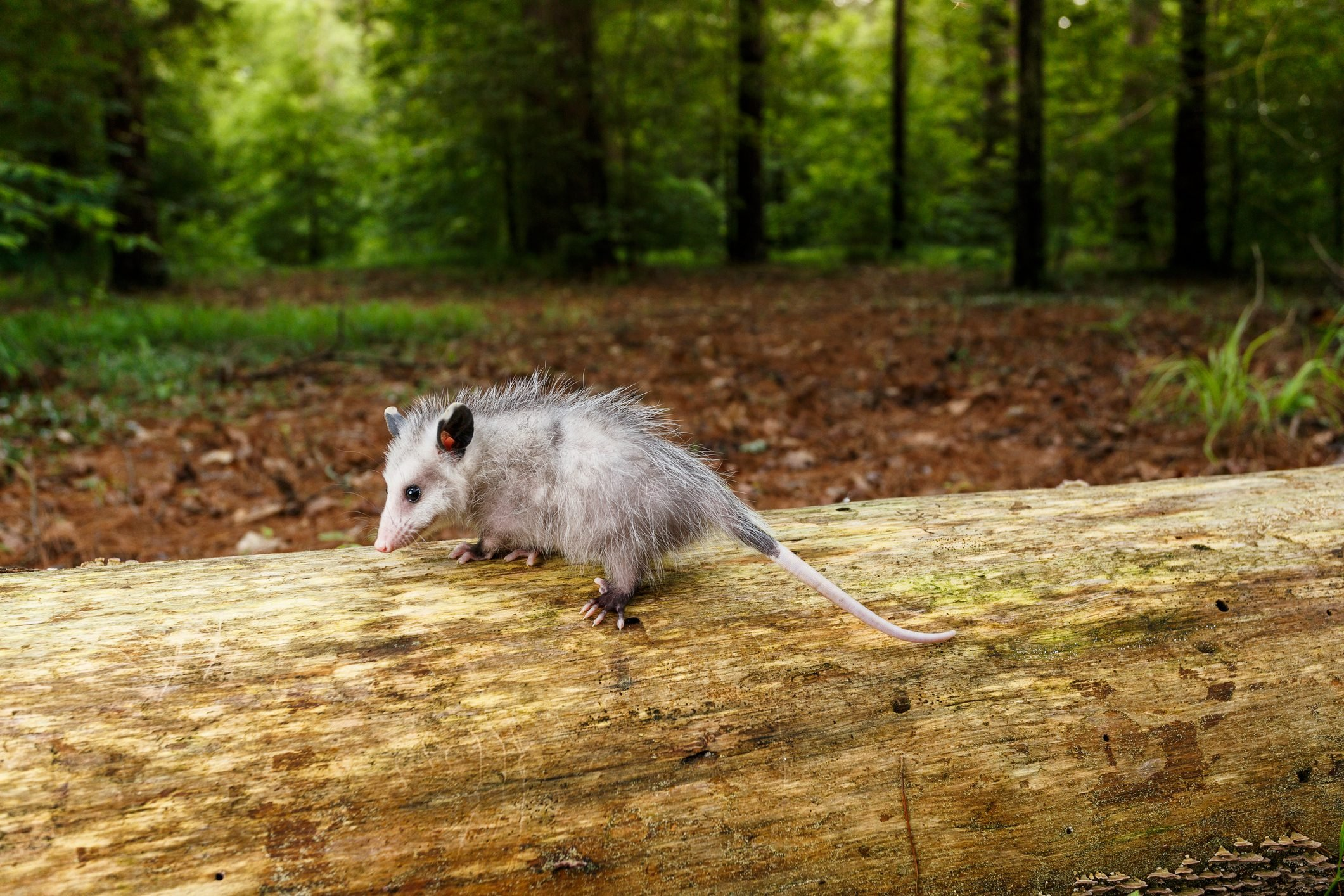 Young Opossum walking on a fallen tree in a forest