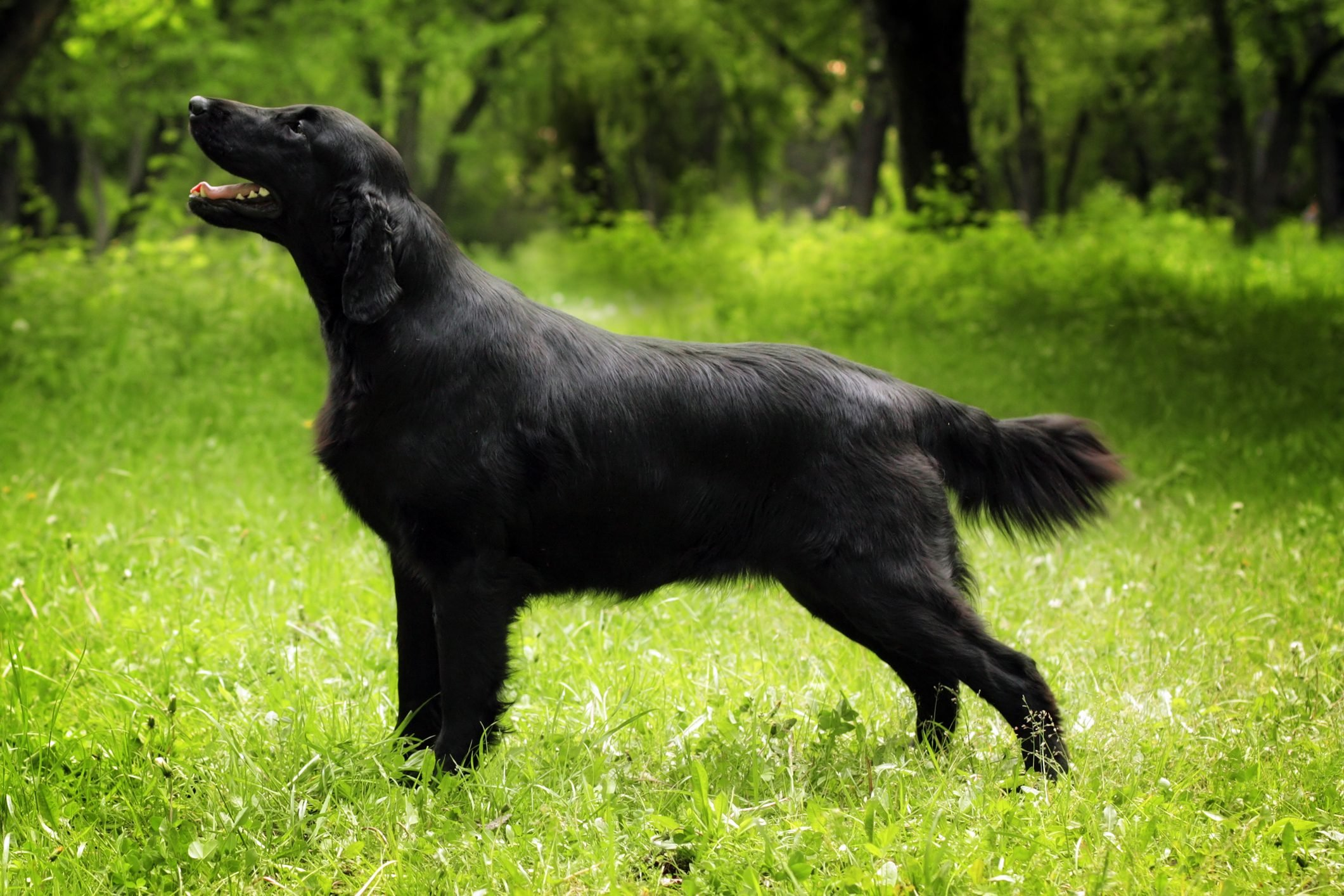 purebred black dog flat-coated Retriever standing in the show po