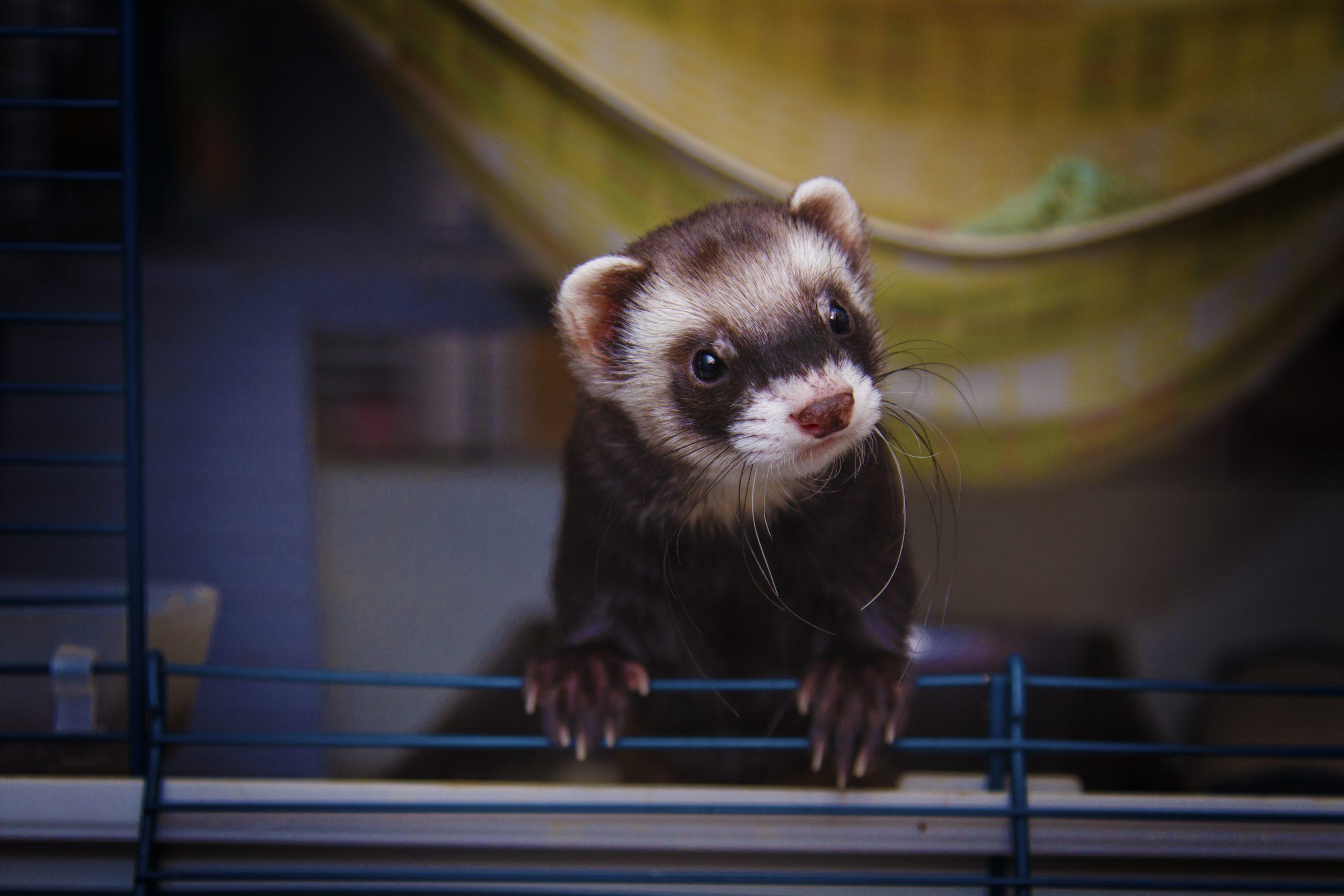 Beautiful ferret or weasel resting in a nest