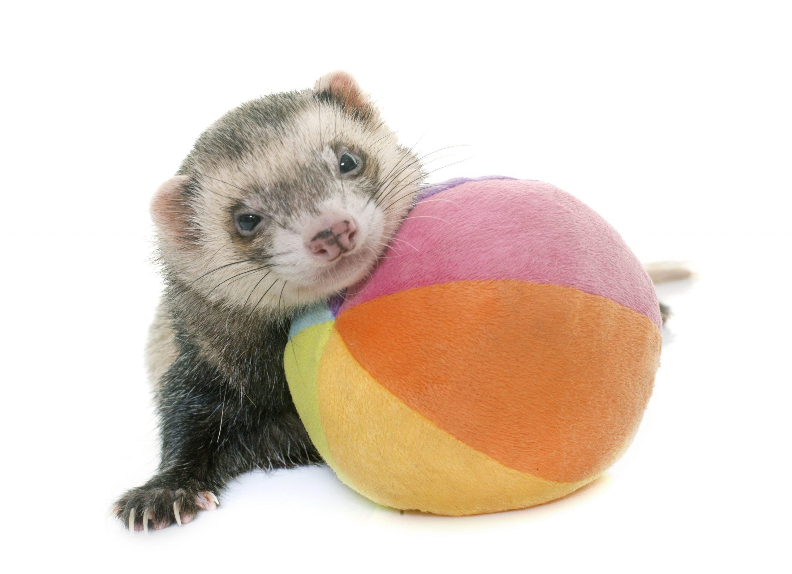 playing ferret in studio