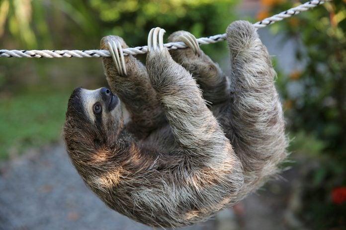 Cute Sloth Climbing On Rope