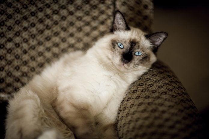 Portrait of Birman cat
