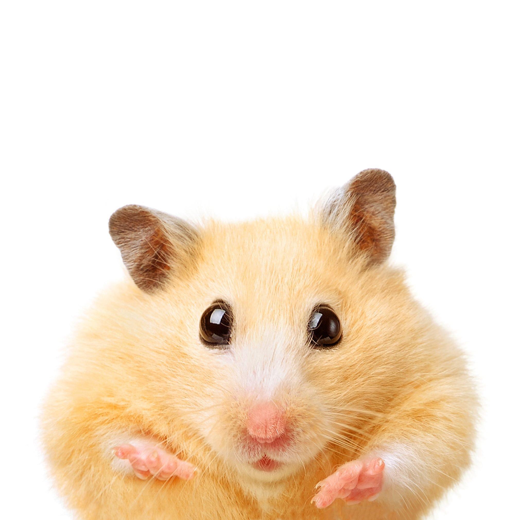 Fat Funny Hamster