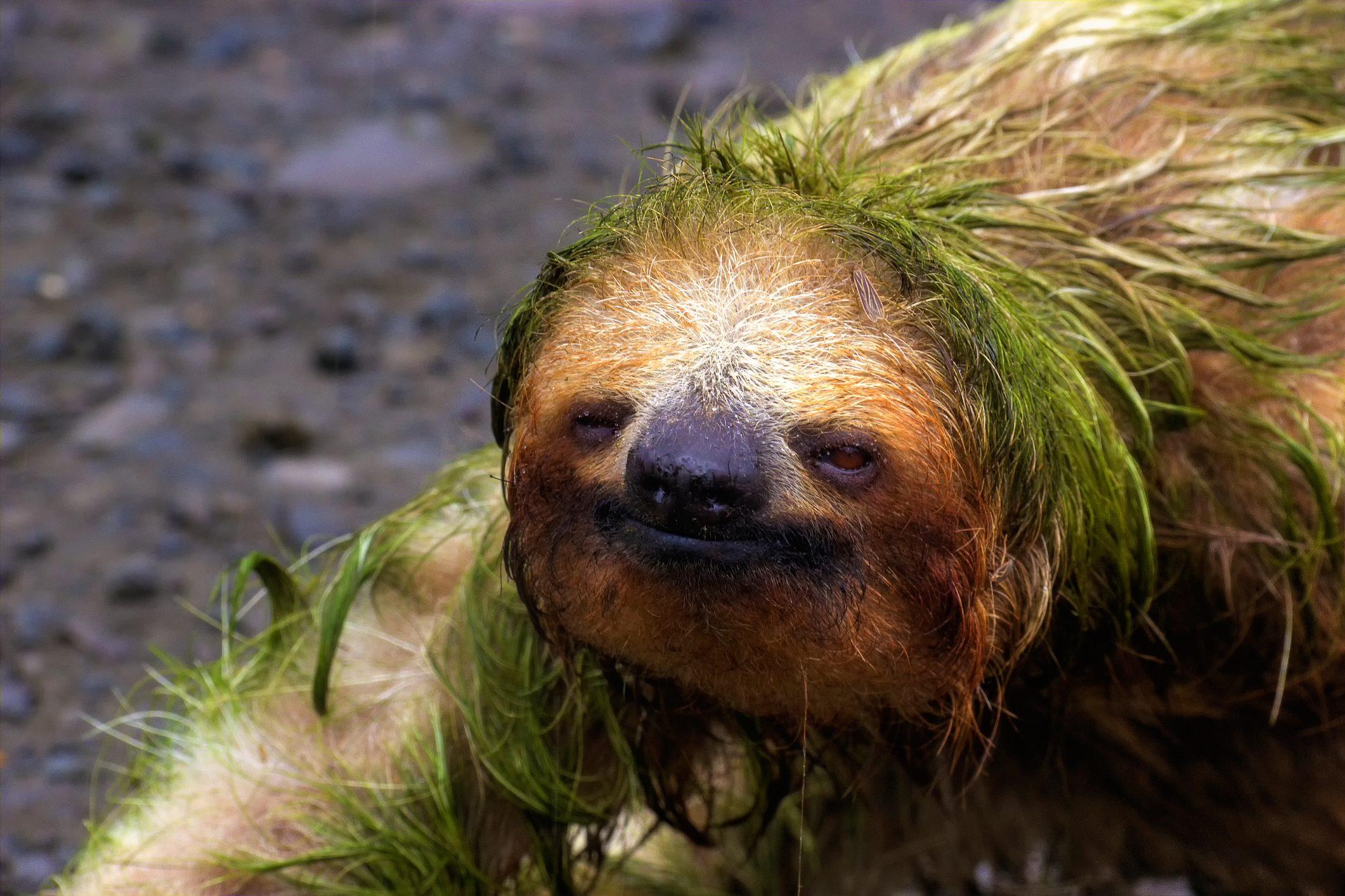 Sloth Portrait