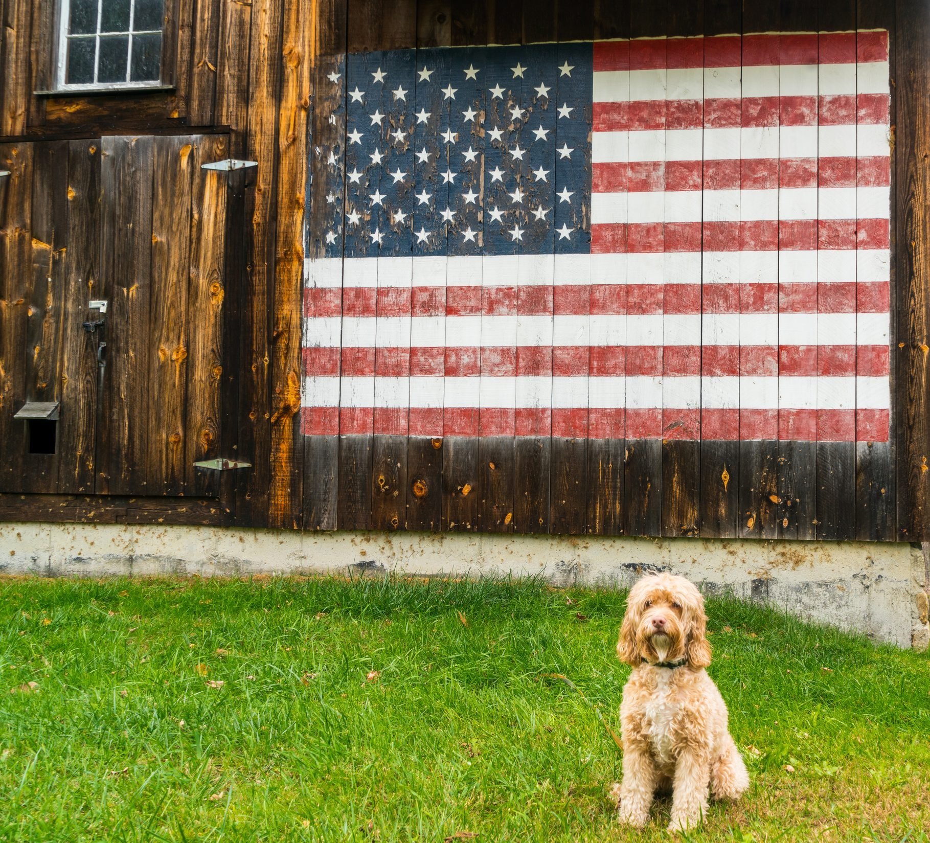A cute puppy poses in from of a barn with painted American flag.