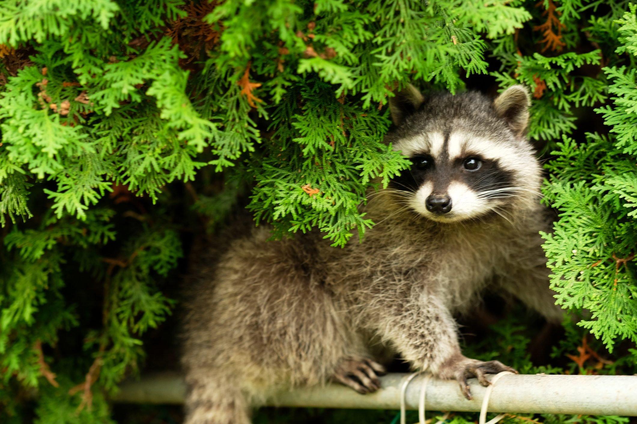 Cute burglar (young raccoon)