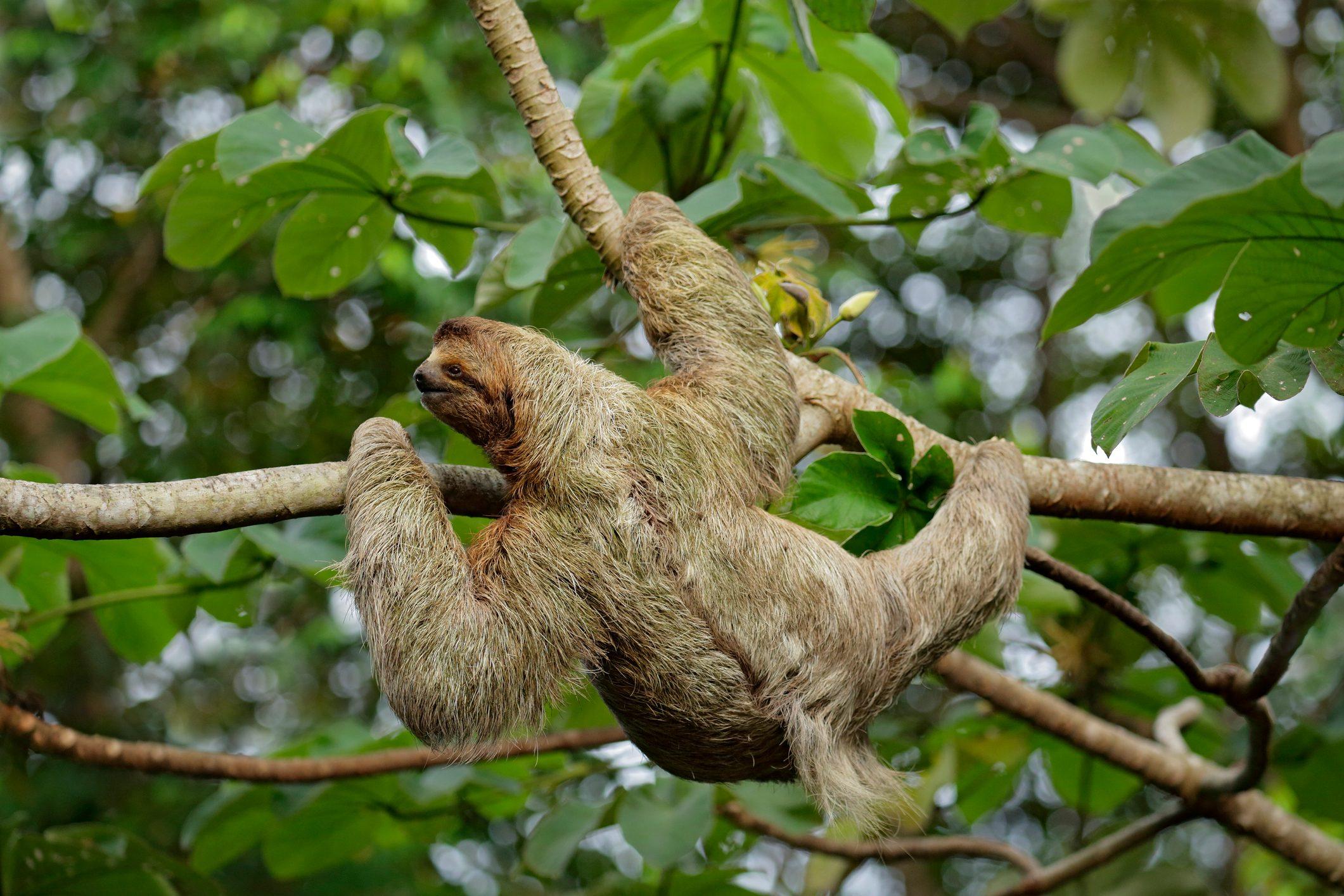 Female Three-toed Sloth