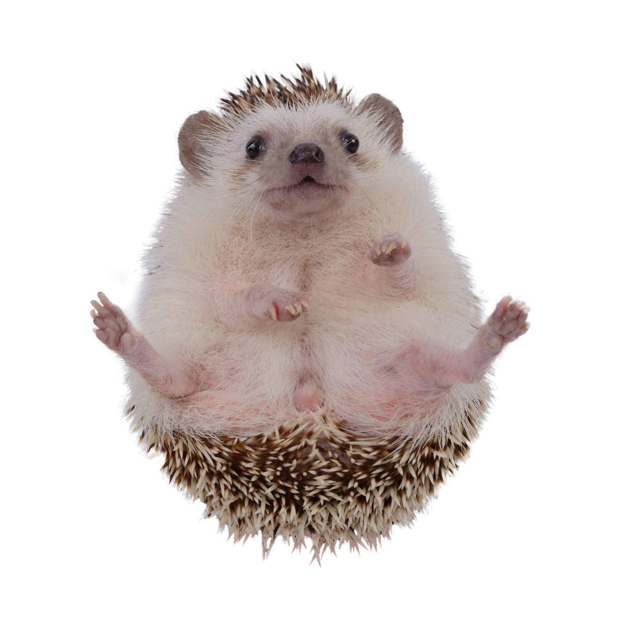 Small hedgehog upturned .