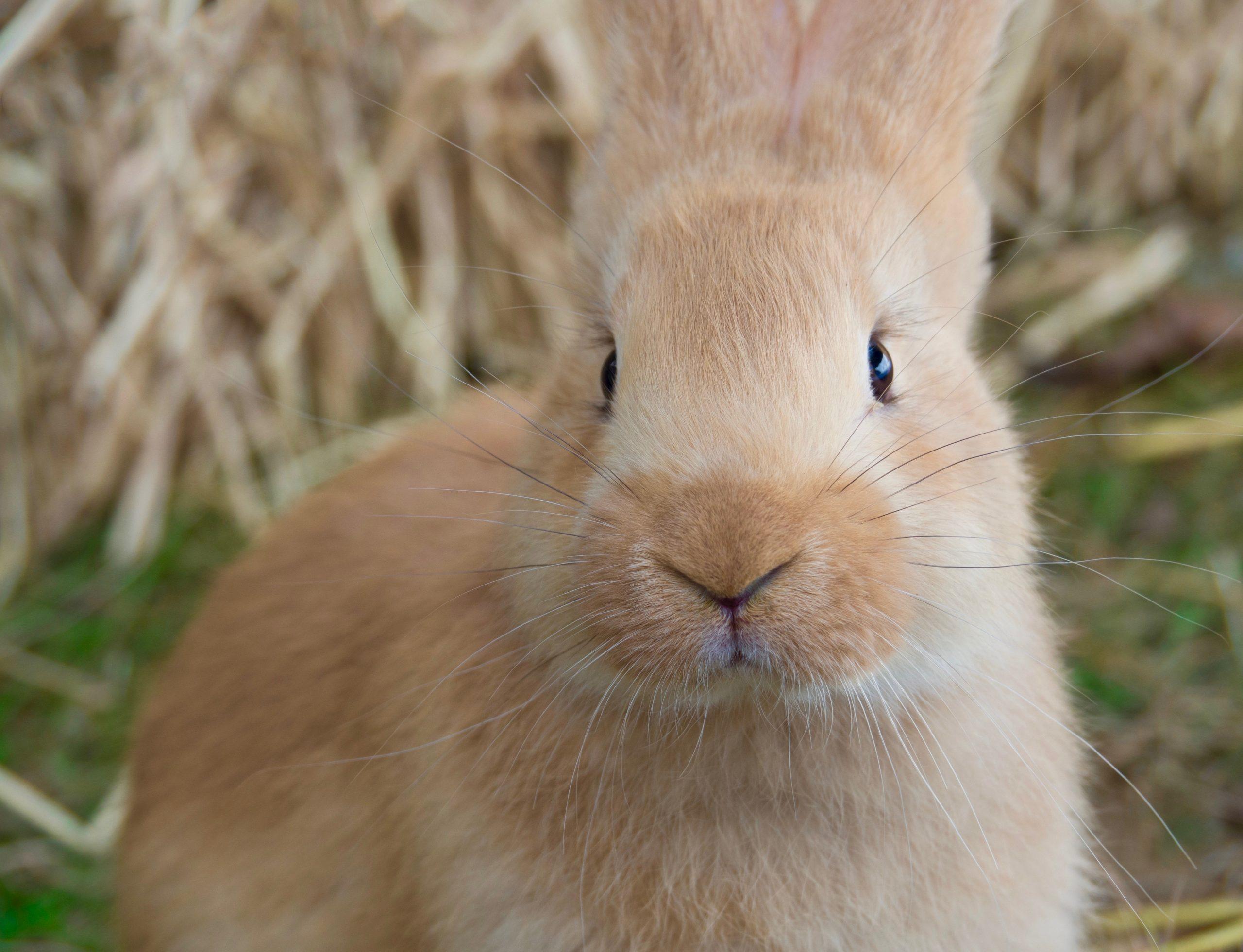 Portrait of Baby Flemish Giant Rabbit