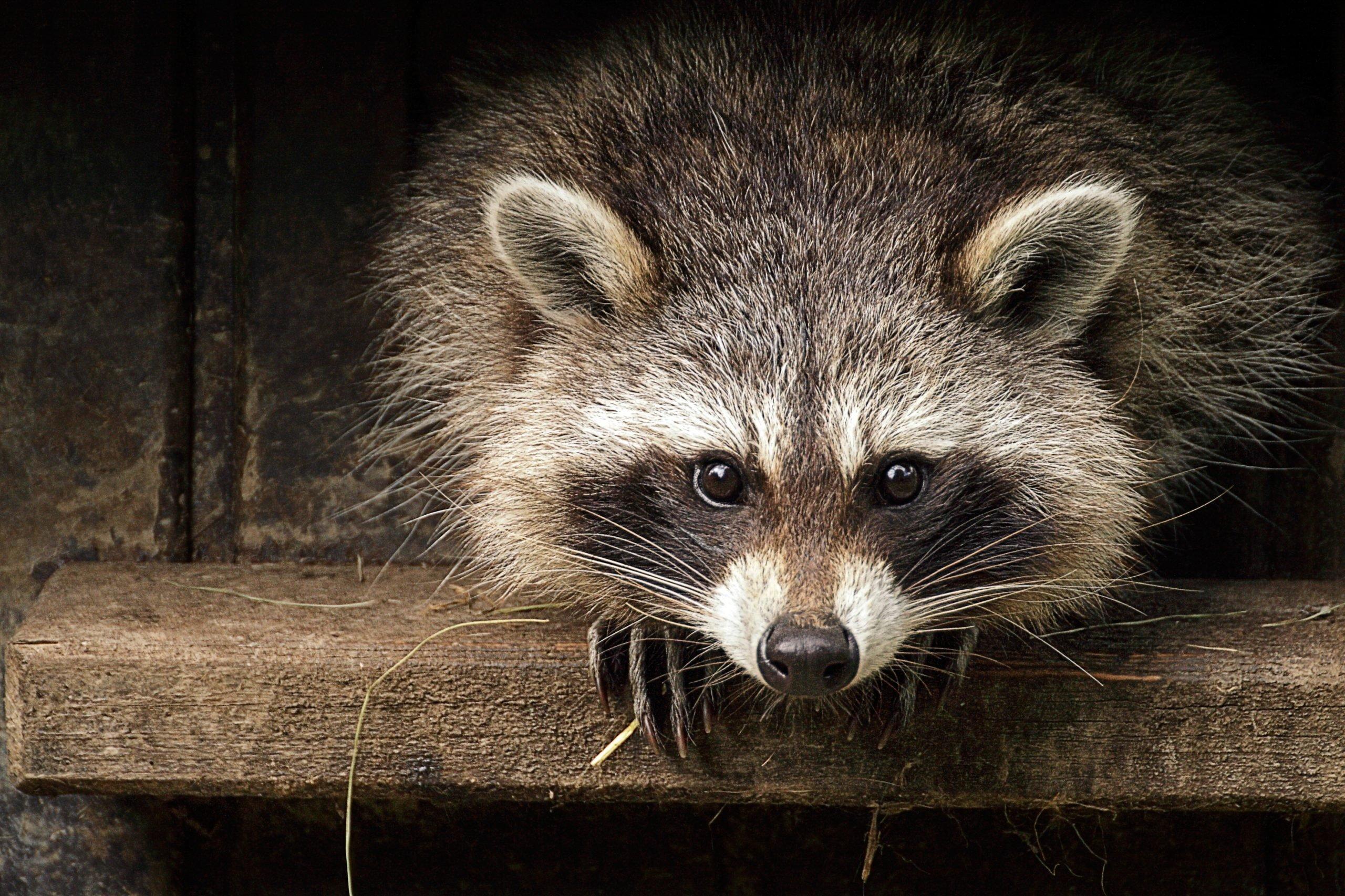 Portrait Of Raccoon On Wooden Shelf