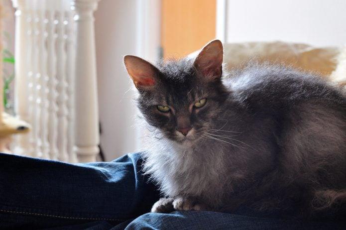 Grey cat on lap looking at camera