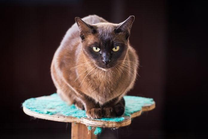 Black Burmese cat