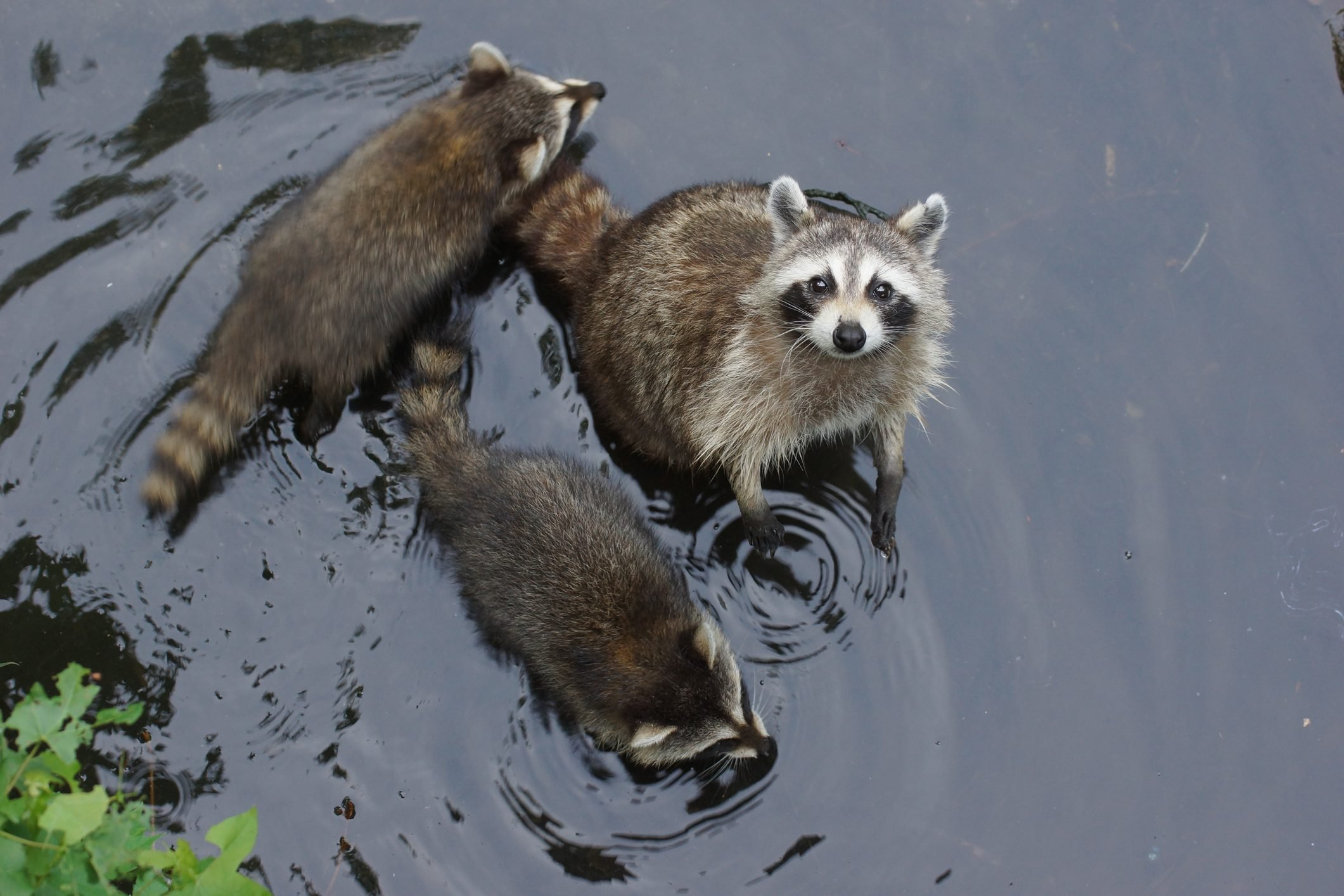 High Angle View Of Raccoons In Lake