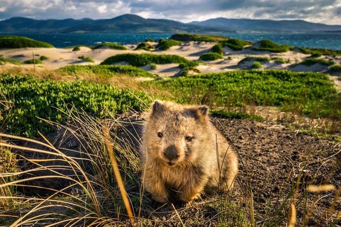 Wombat at Lesueur Point. Maria Island, Tasmania