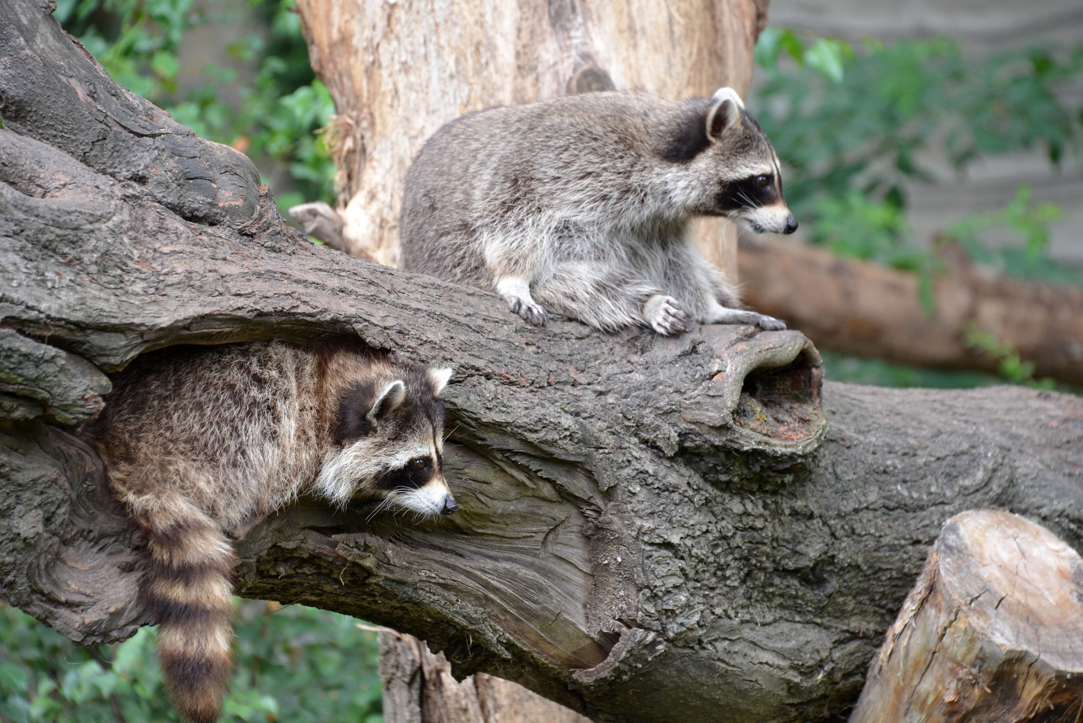 Low Angle View Of Two Raccoons On Branch