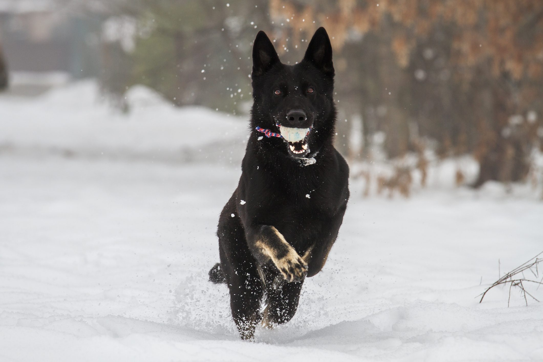 German Shepherd Jumping Over Snow Covered Field