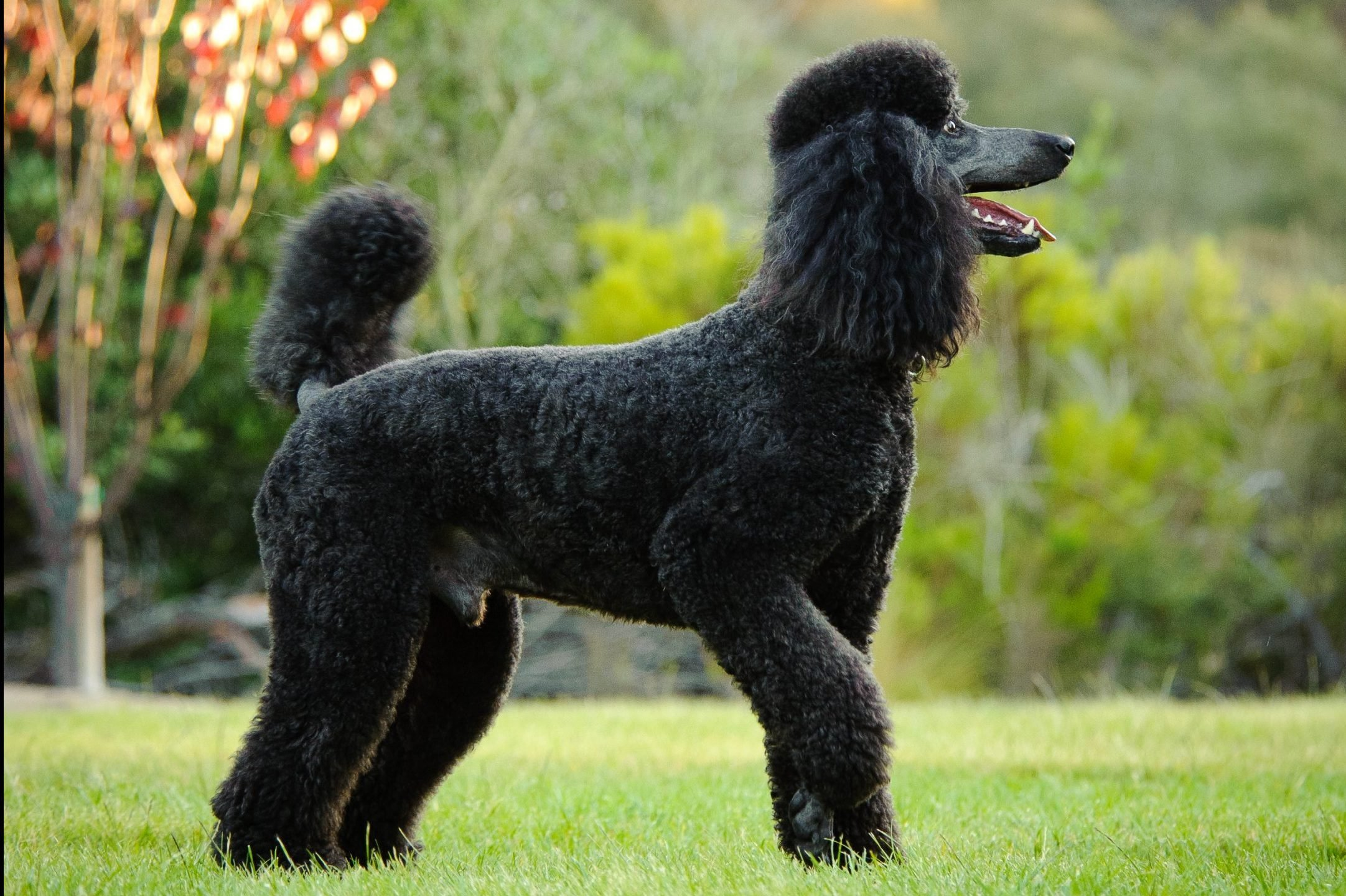 Side View Of Black Poodle Standing On Field