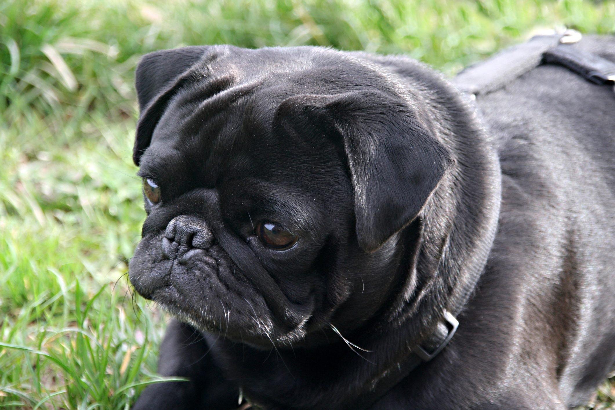 Close-Up Of Black Pug Sitting On Field