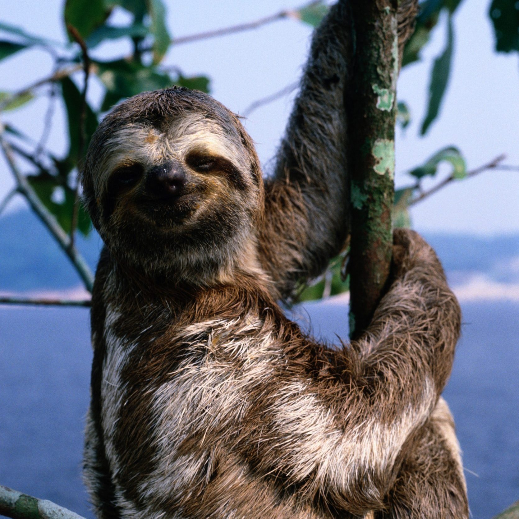 Three-toed sloth (Bradypus tridactylus) Amazon River, Brazil