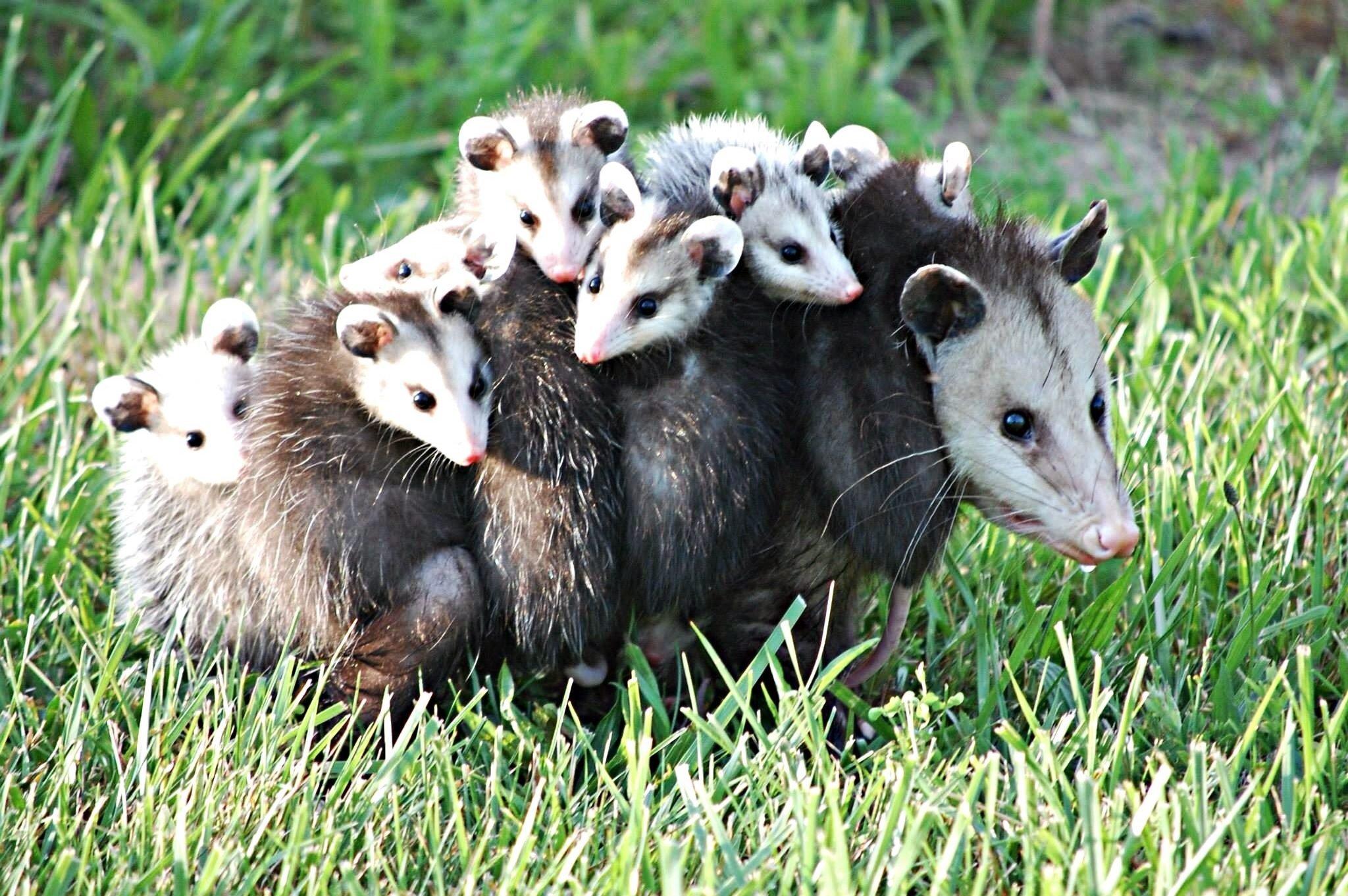 Cute Possum Family