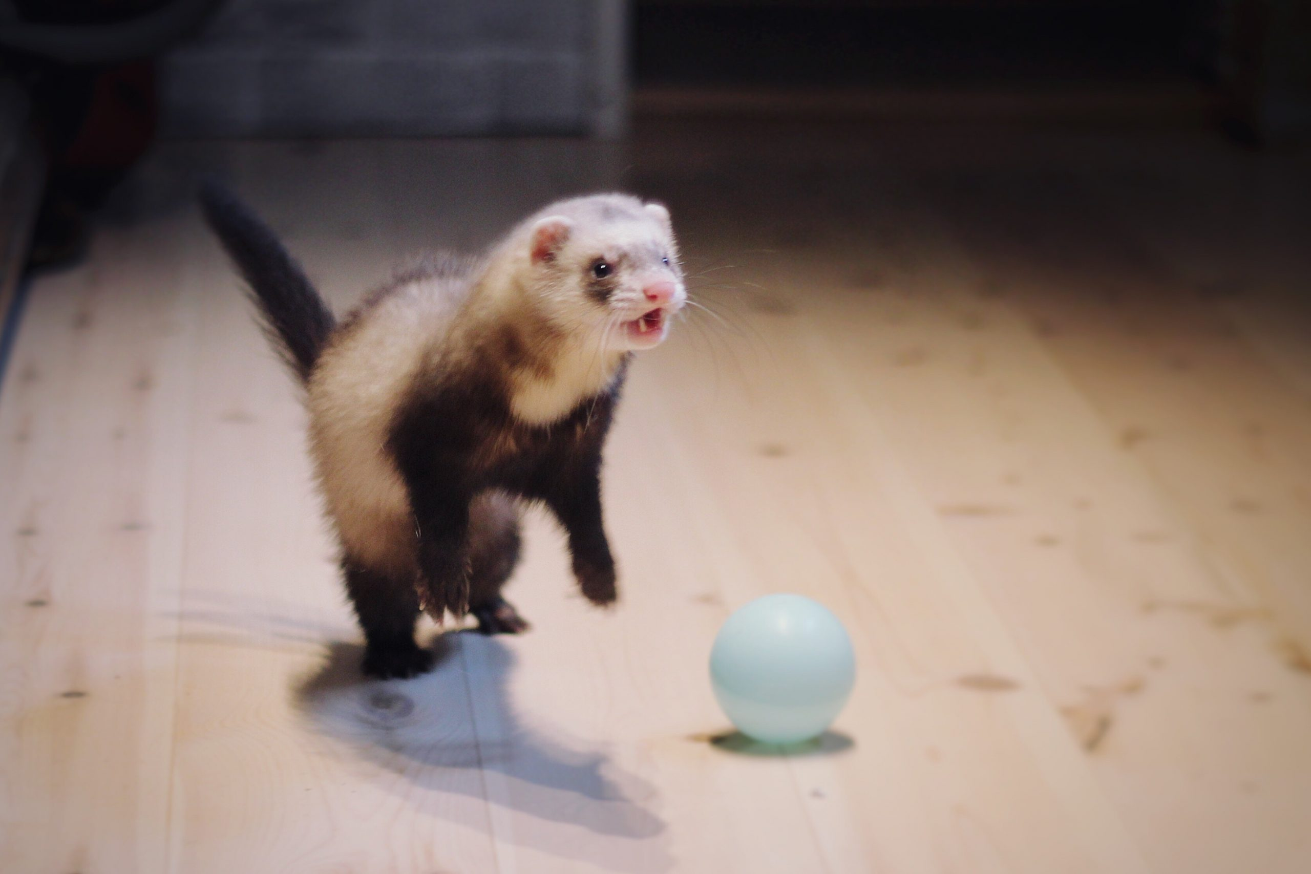 Close-Up Of Ferret With Ball