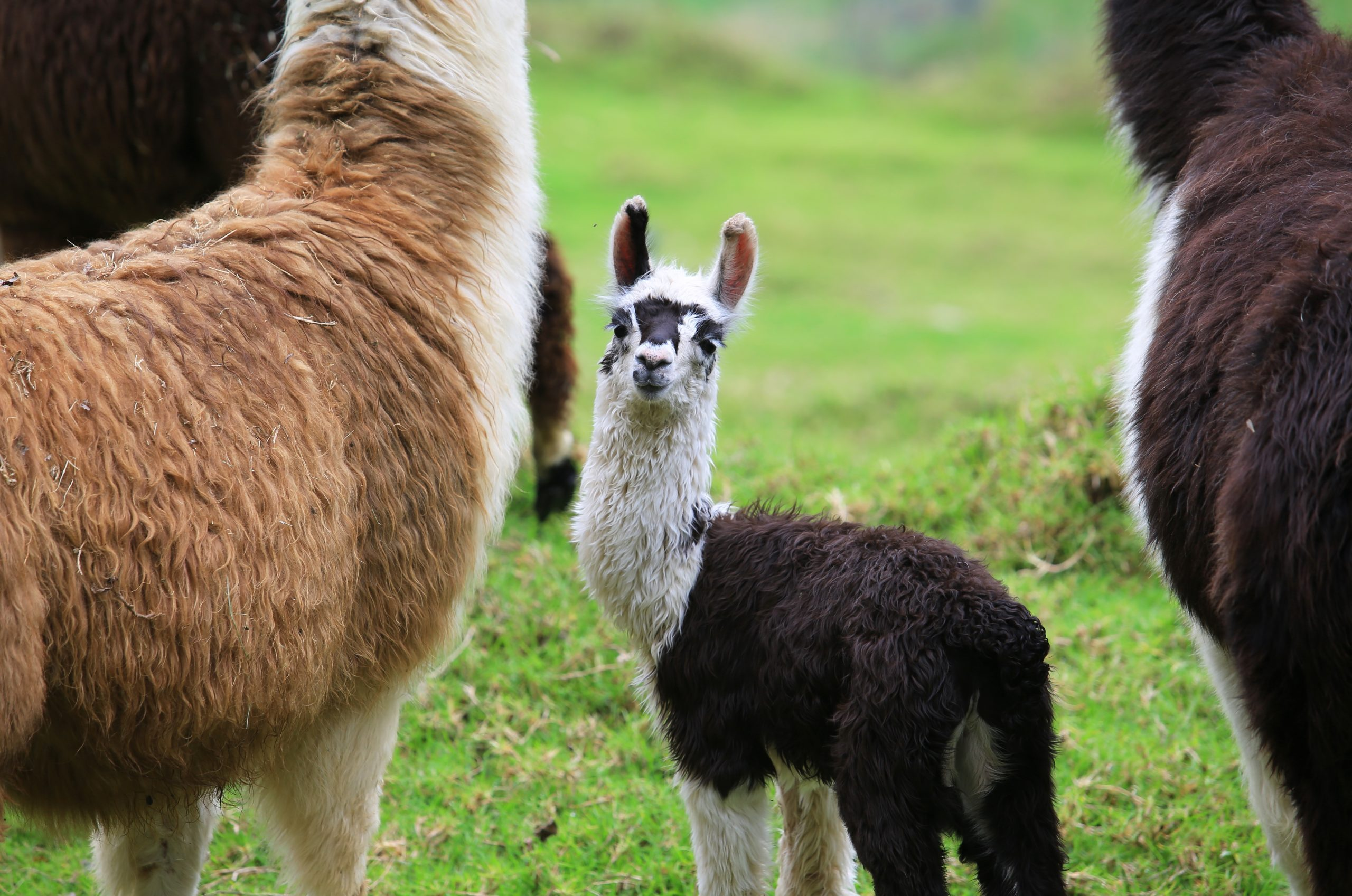Alpaca baby with his mother