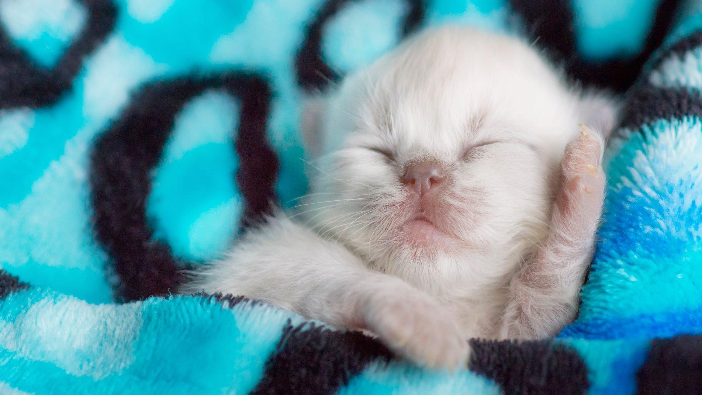 Cute Newborn Kitten Sleeping in Warm Blanket