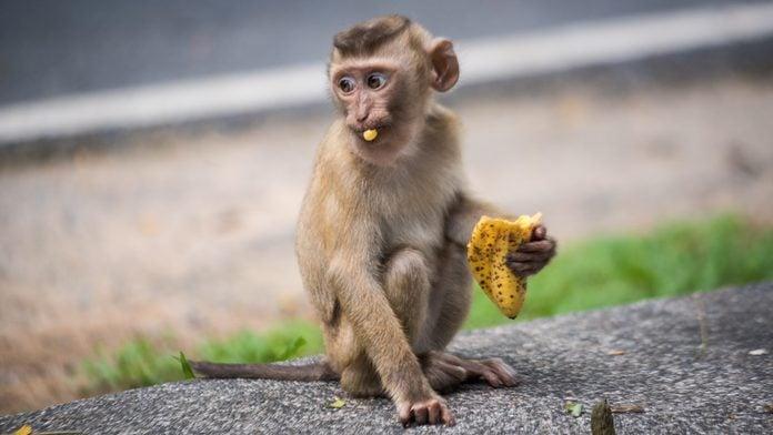 Baby Rhesus macaque eating a banana