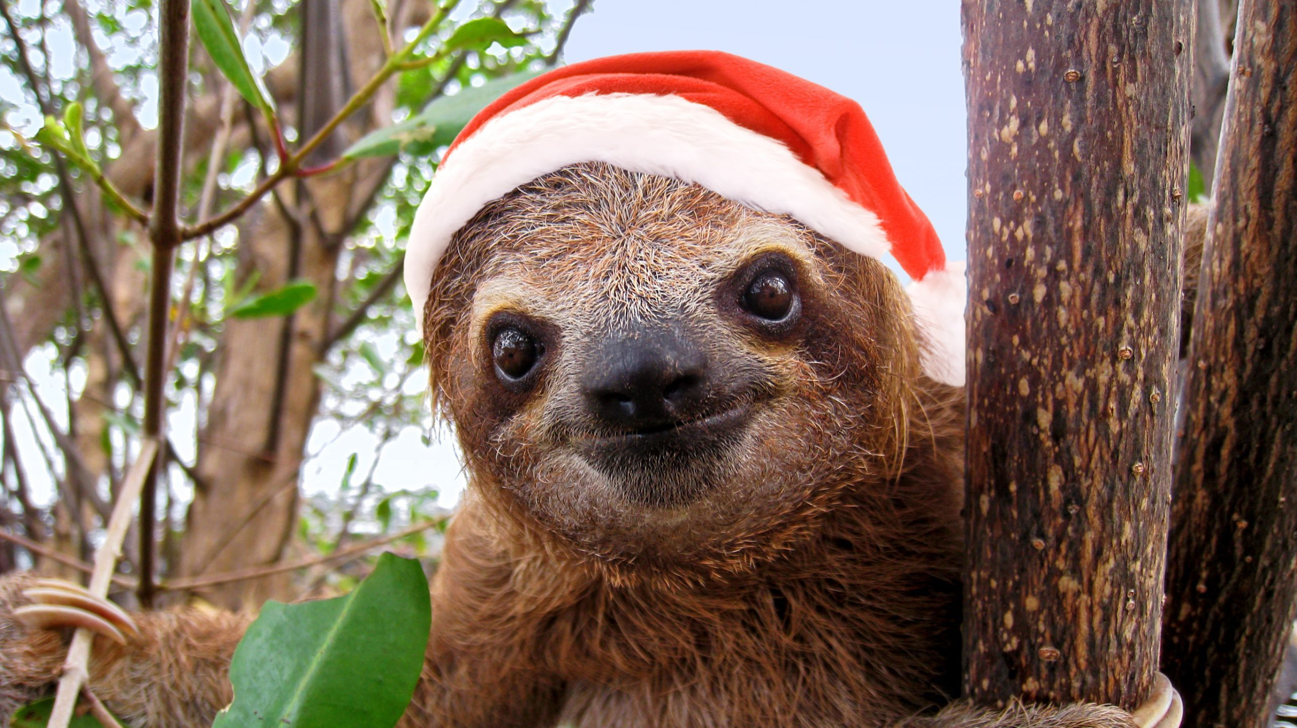 Baby sloth in red Santa Claus hat