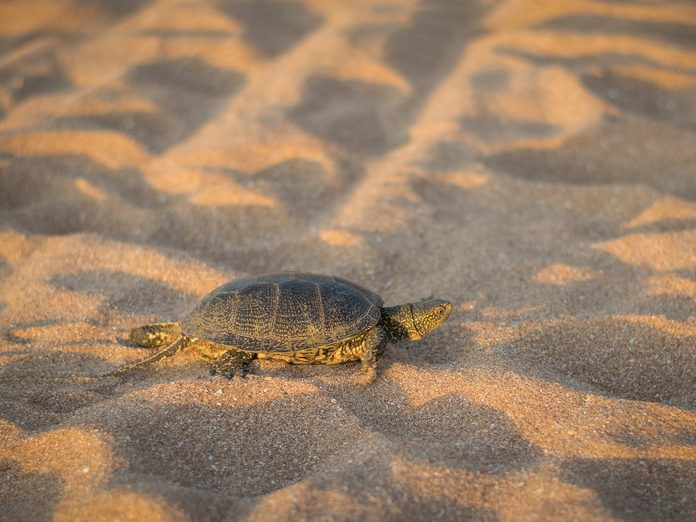 A small turtle crawling on the sand near the sea.