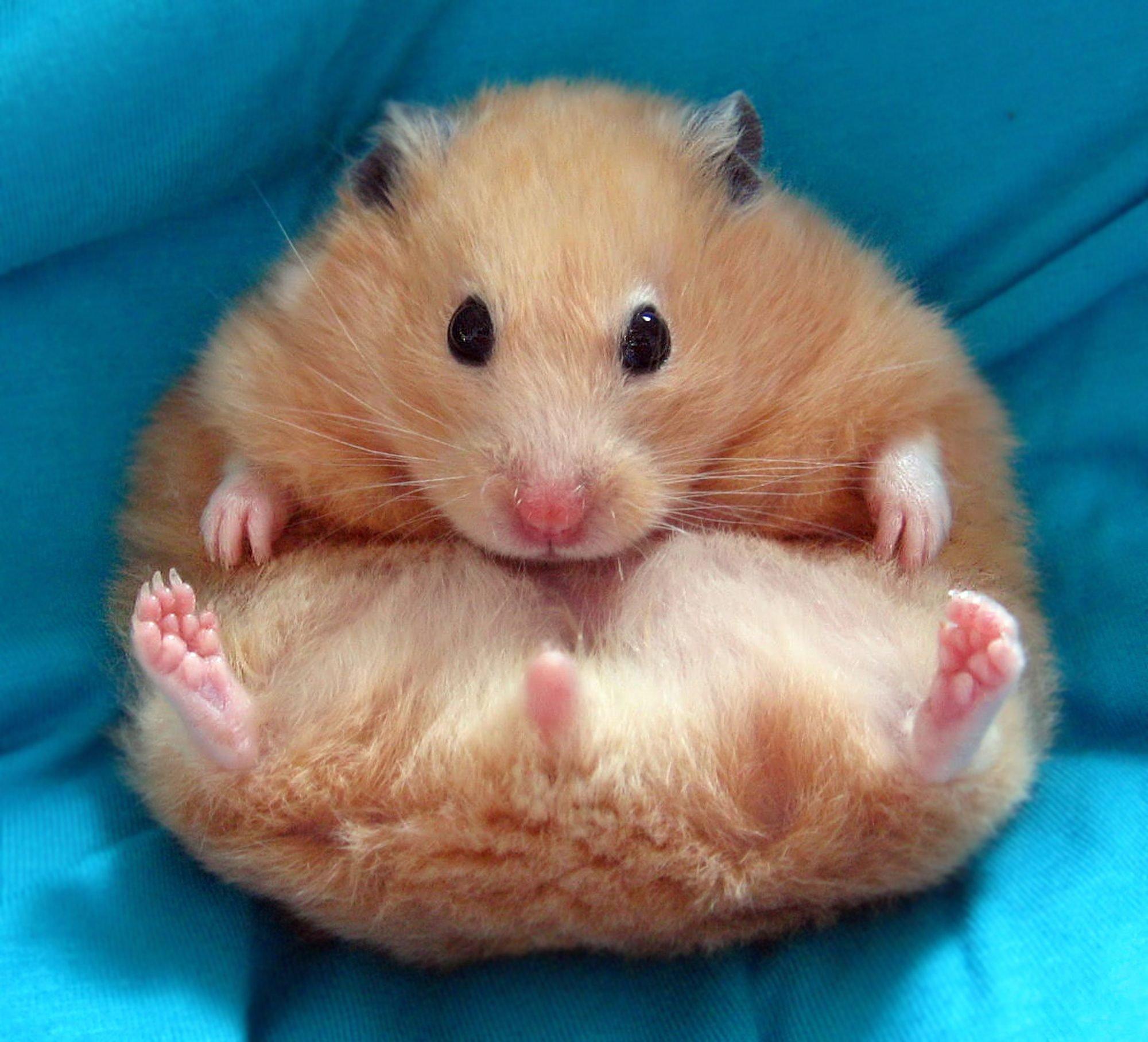 Egg shaped syrian hamster