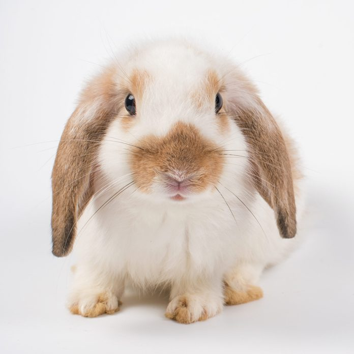 French Lop rabbit brown ear black eye isolated on white background