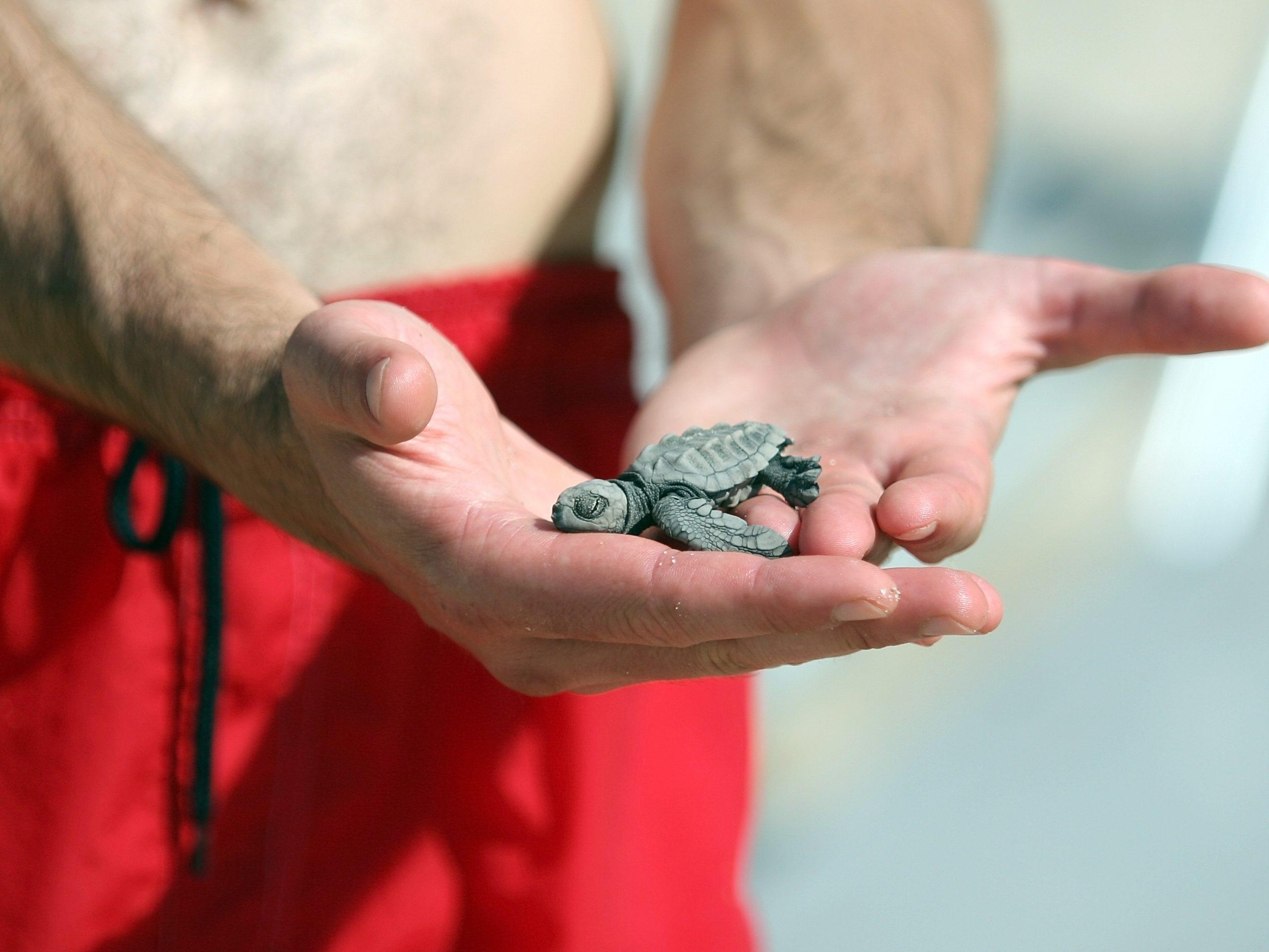 Newborn turtle in guys hand