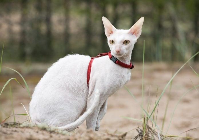 white cornish rex cat
