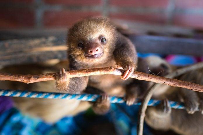 Baby sloth hangs upside down