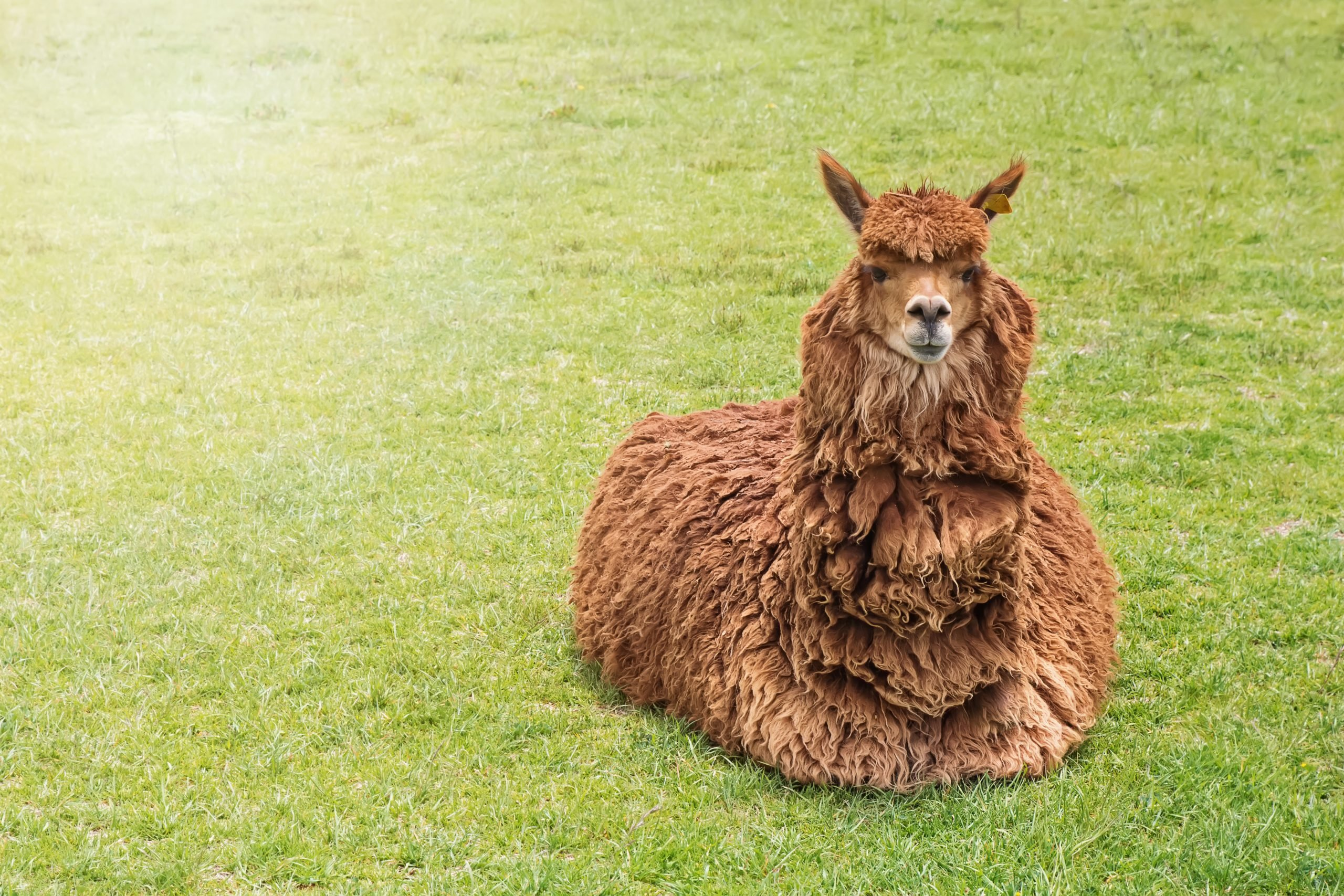 Cute funny alpca of lying on the green grass