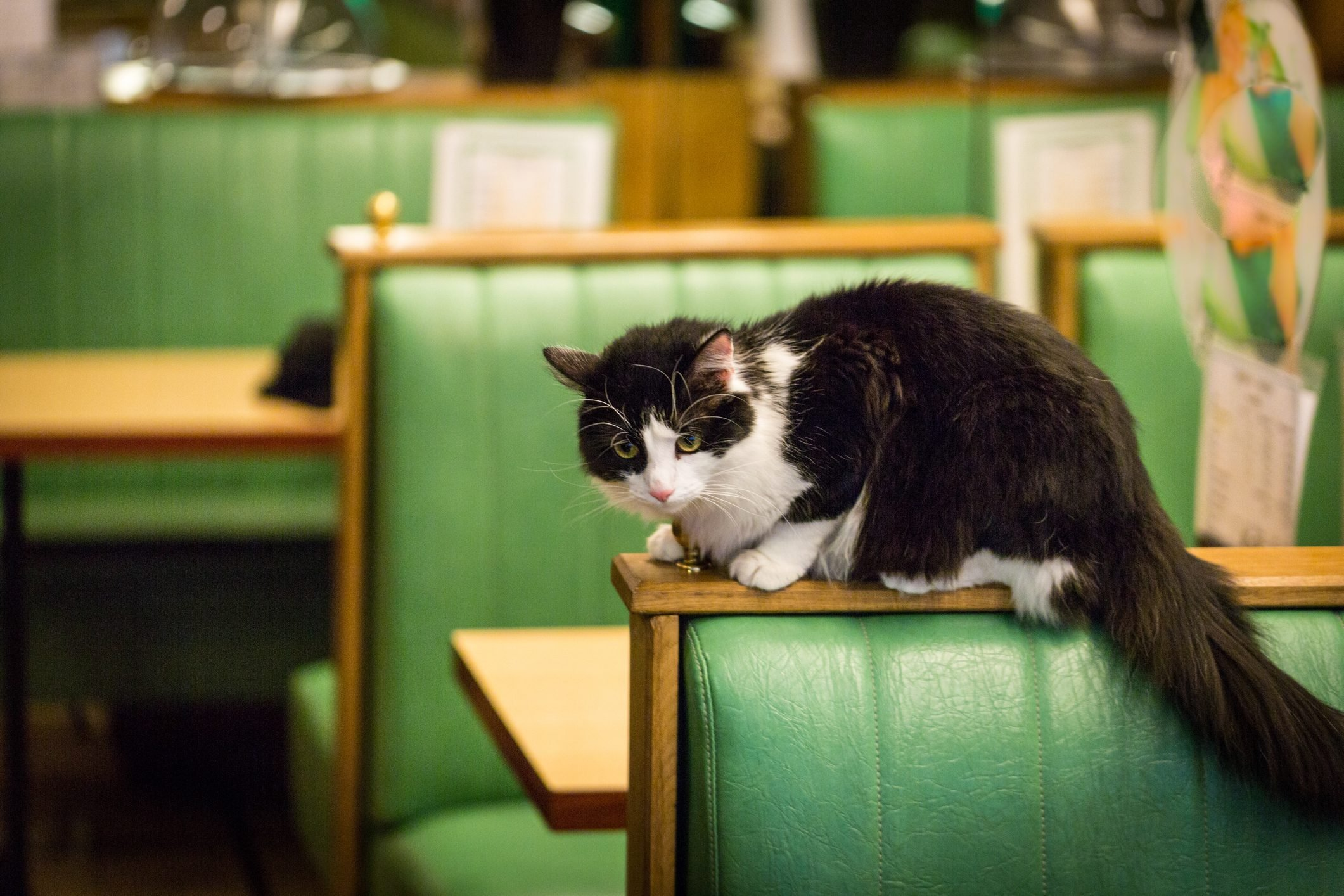 Cat on a booth in a Restaurant