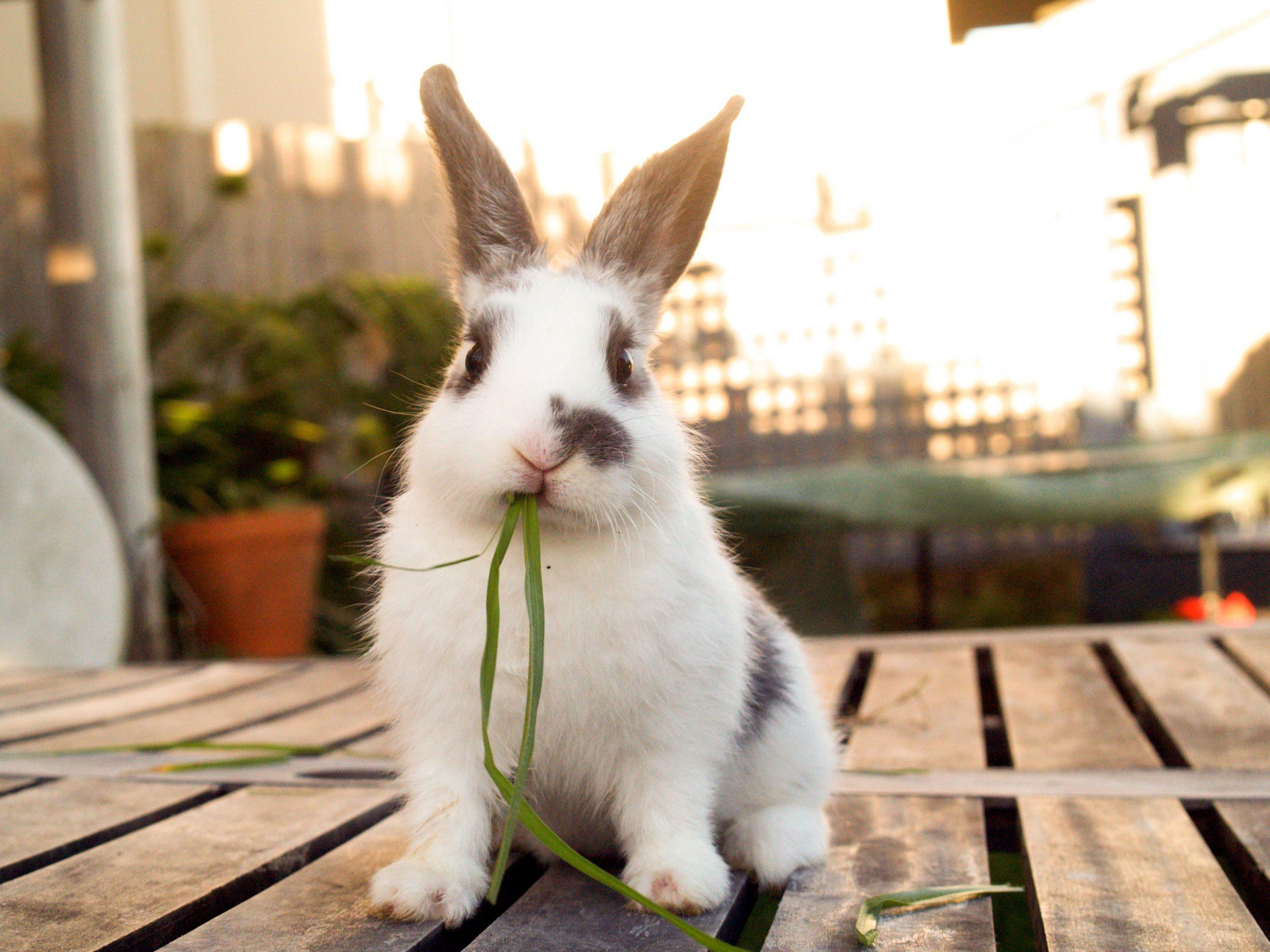 Pet baby rabbit eating grass