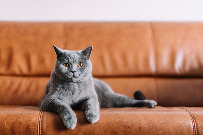 Portrait of Chartreux cat relaxing on sofa at home
